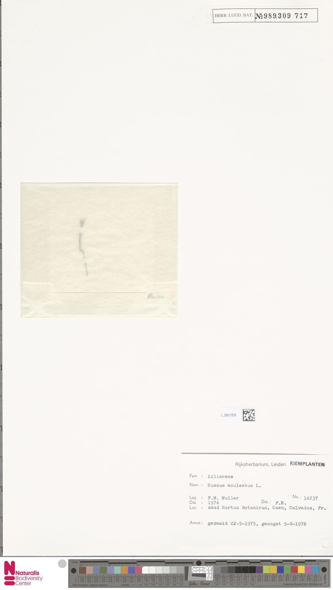L.3807939 | Ruscus aculeatus L.