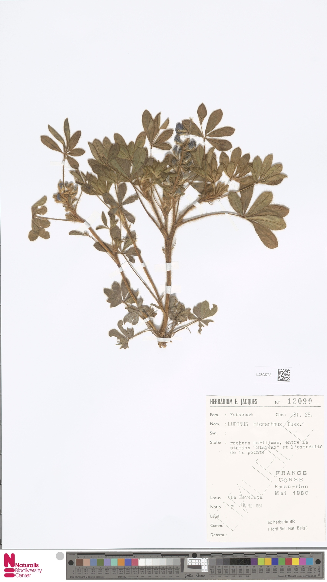 L.3808733 | Lupinus micranthus Guss.
