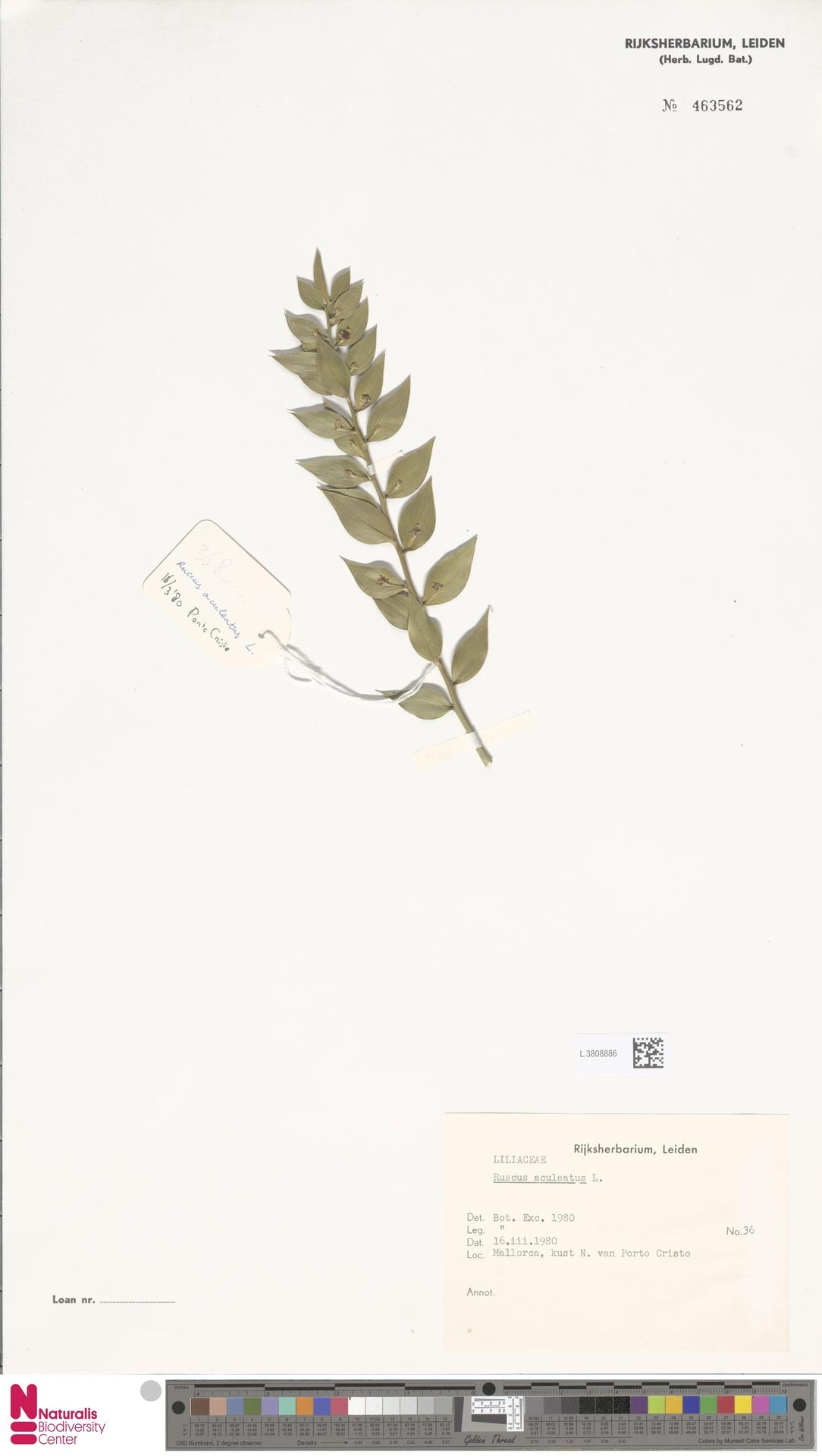 L.3808886 | Ruscus aculeatus L.