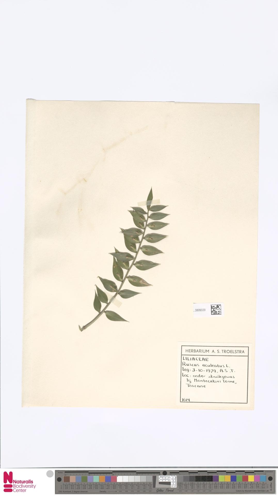 L.3809339 | Ruscus aculeatus L.