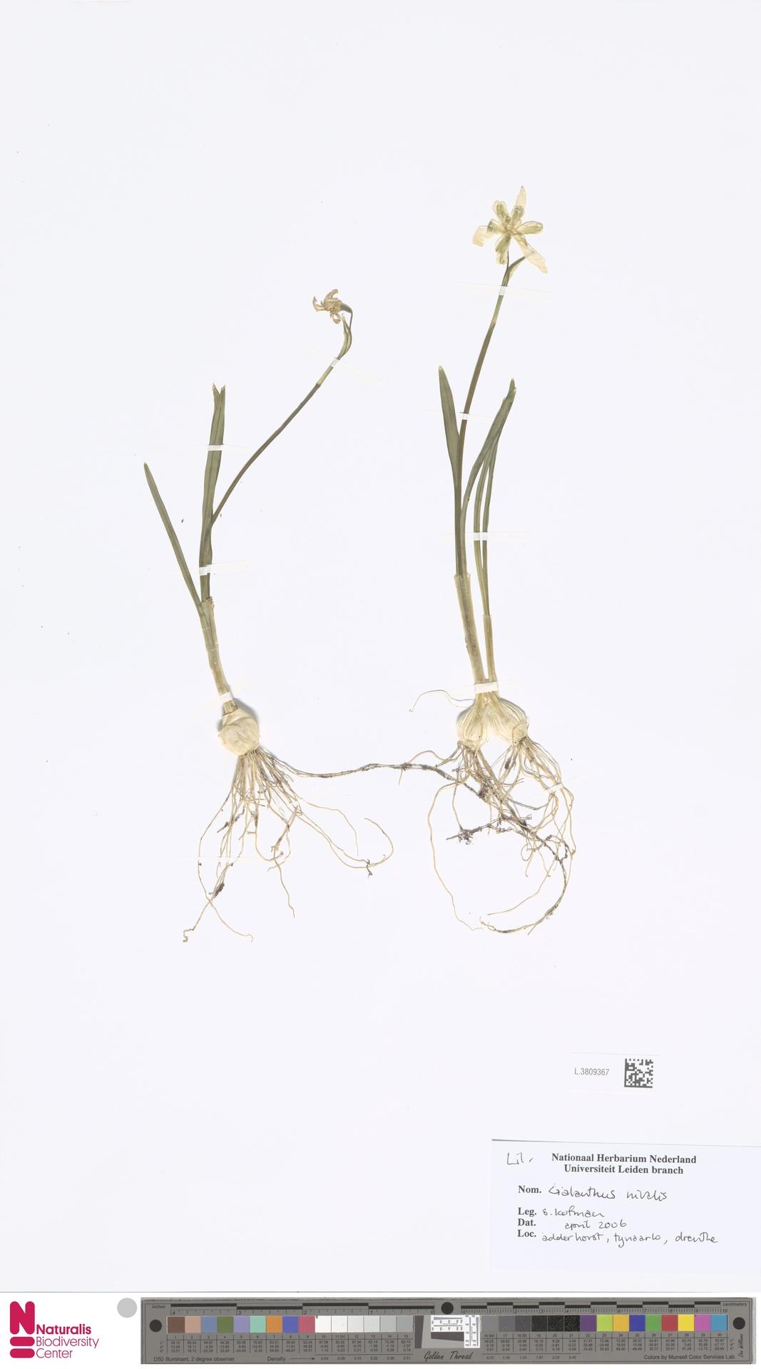 L.3809367 | Galanthus nivalis L.