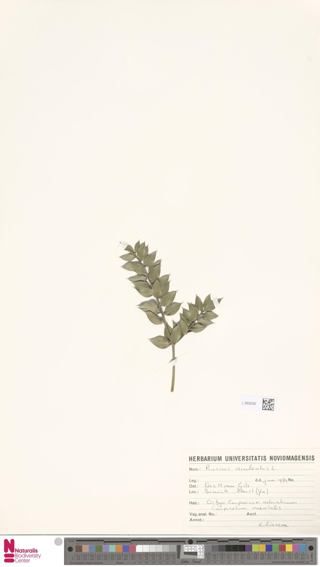 L.3809392 | Ruscus aculeatus L.