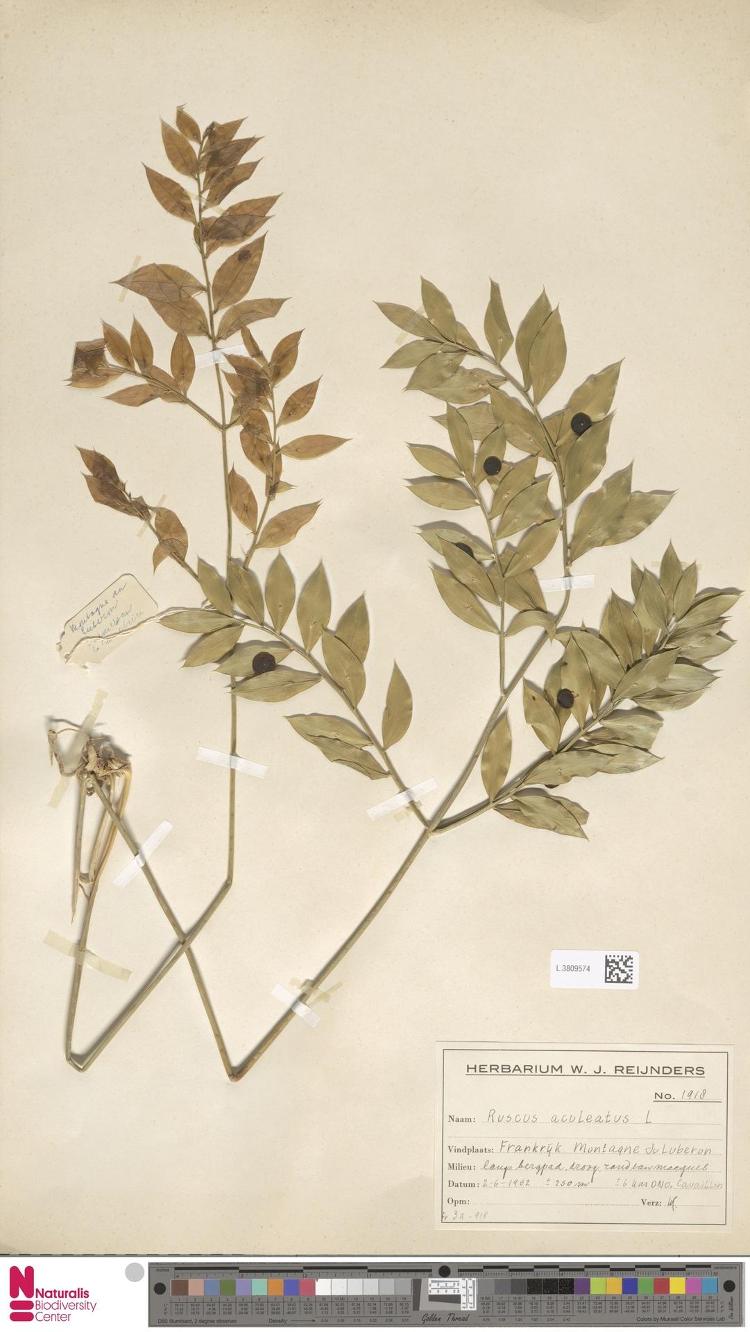 L.3809574 | Ruscus aculeatus L.