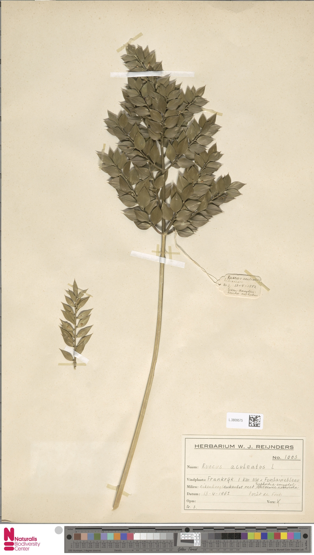 L.3809575 | Ruscus aculeatus L.