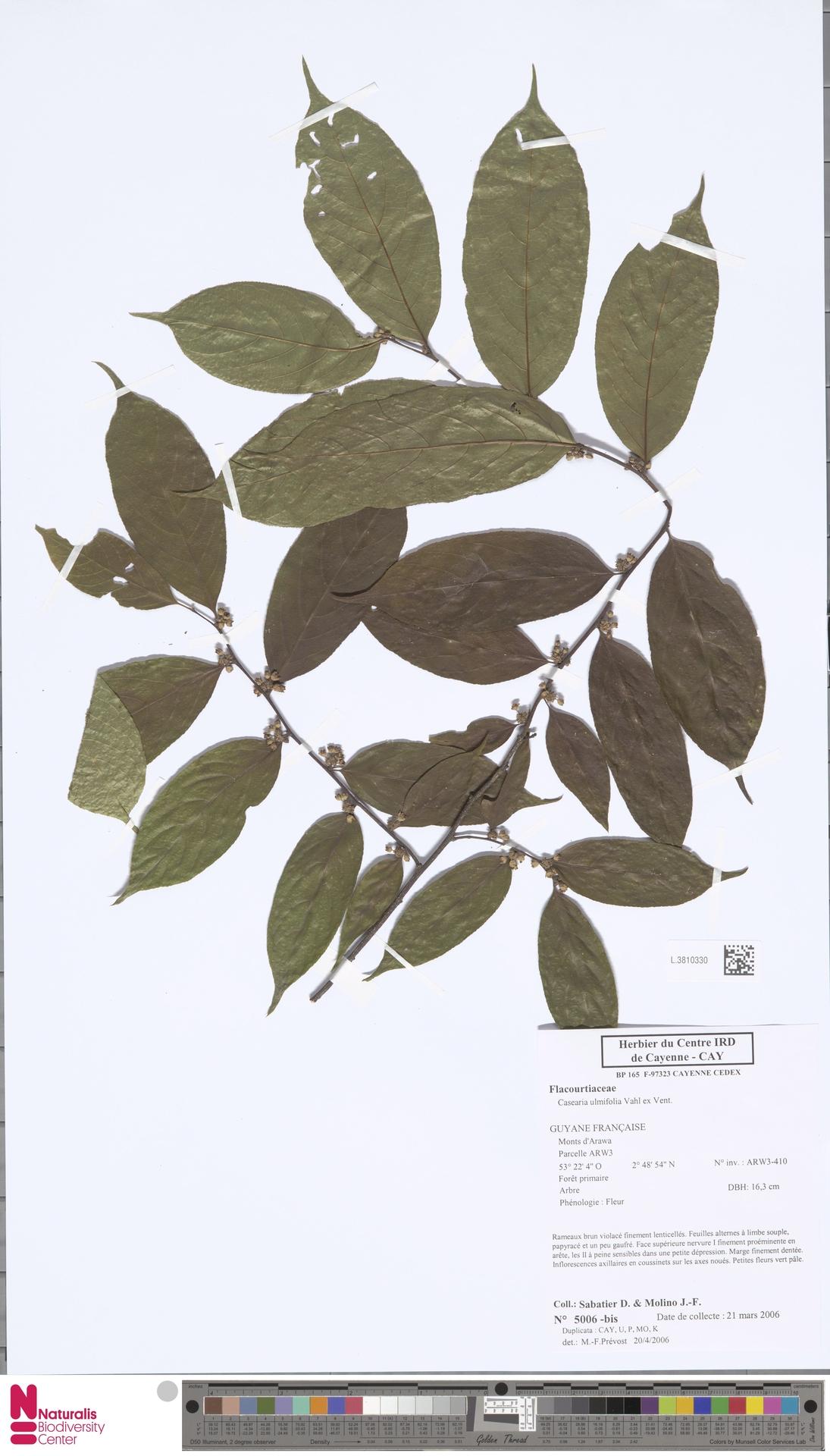 L.3810330 | Casearia ulmifolia Vahl ex Vent.