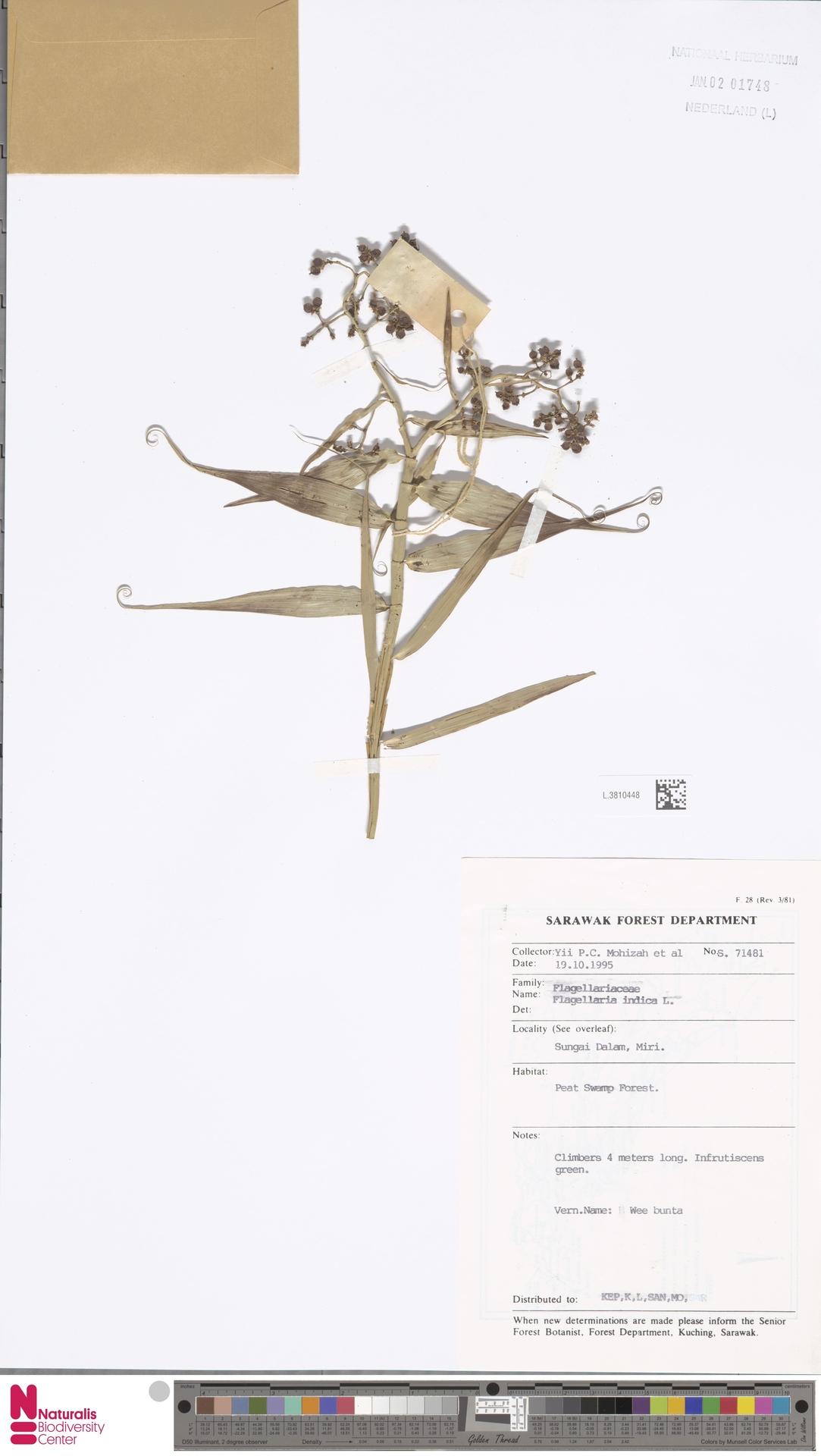 L.3810448 | Flagellaria indica L.