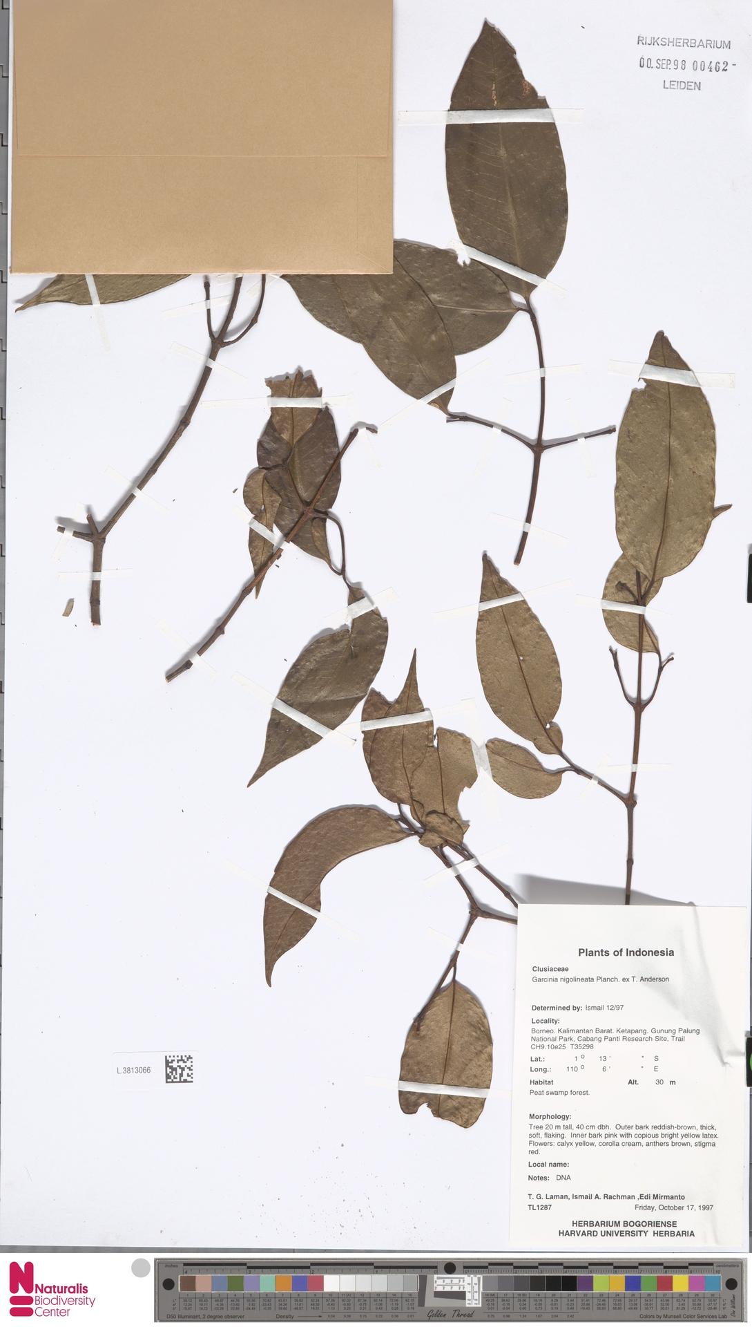 L.3813066 | Garcinia nigrolineata Planch. ex T.Anderson