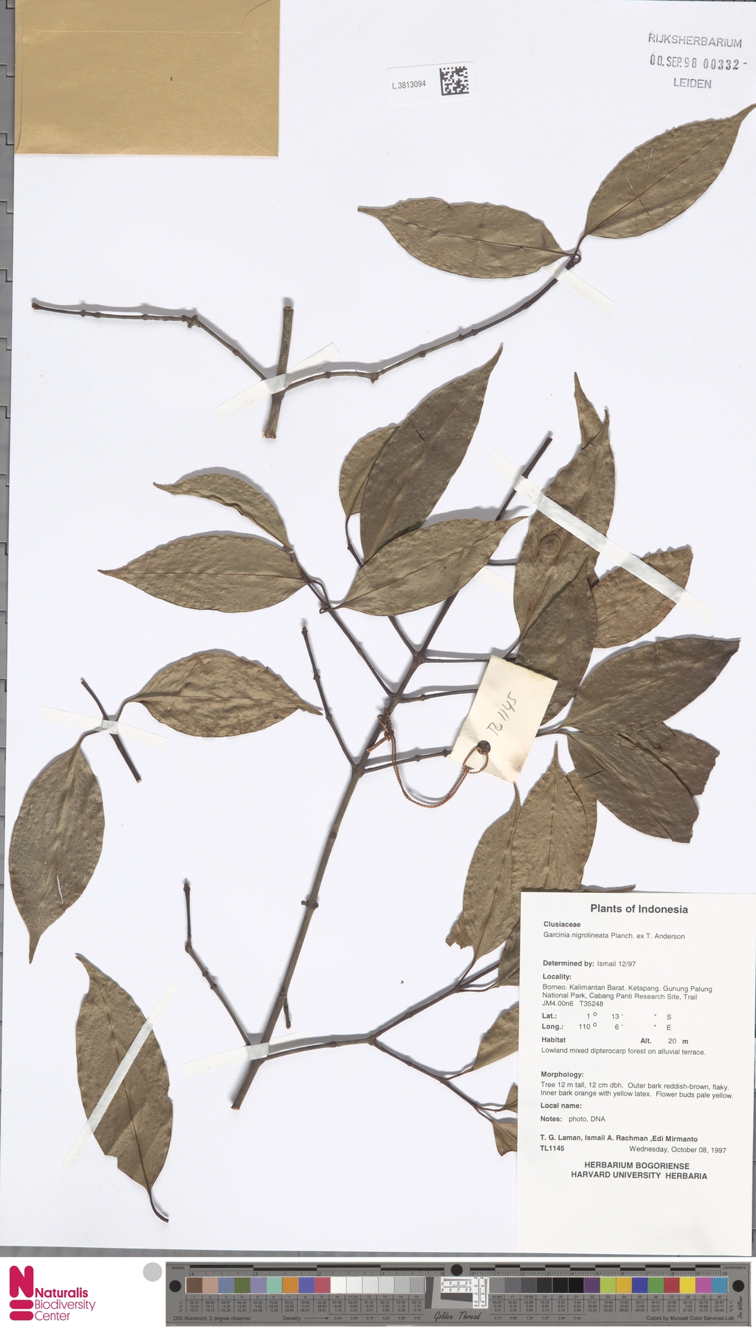 L.3813094 | Garcinia nigrolineata Planch. ex T.Anderson