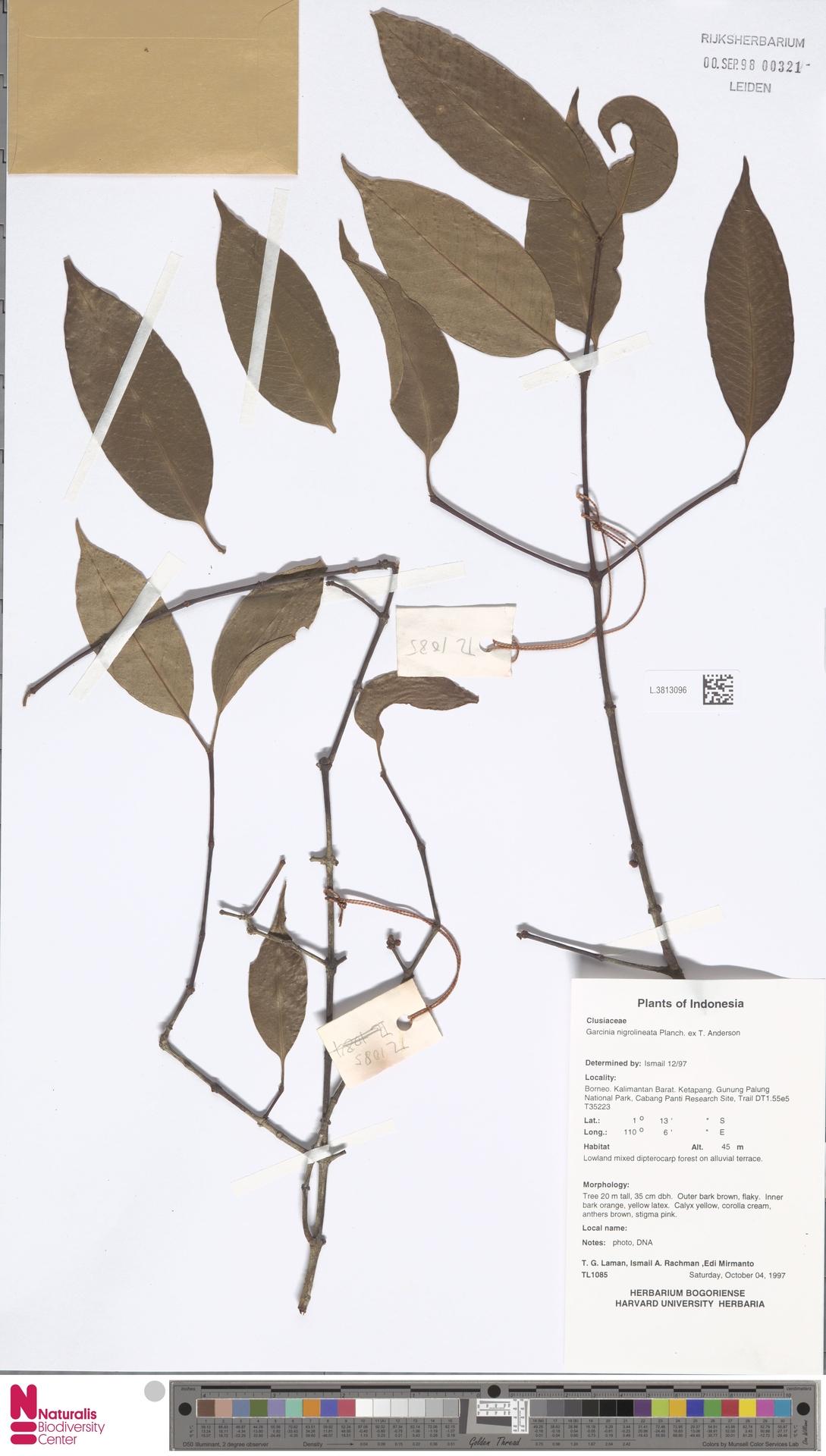 L.3813096 | Garcinia nigrolineata Planch. ex T.Anderson