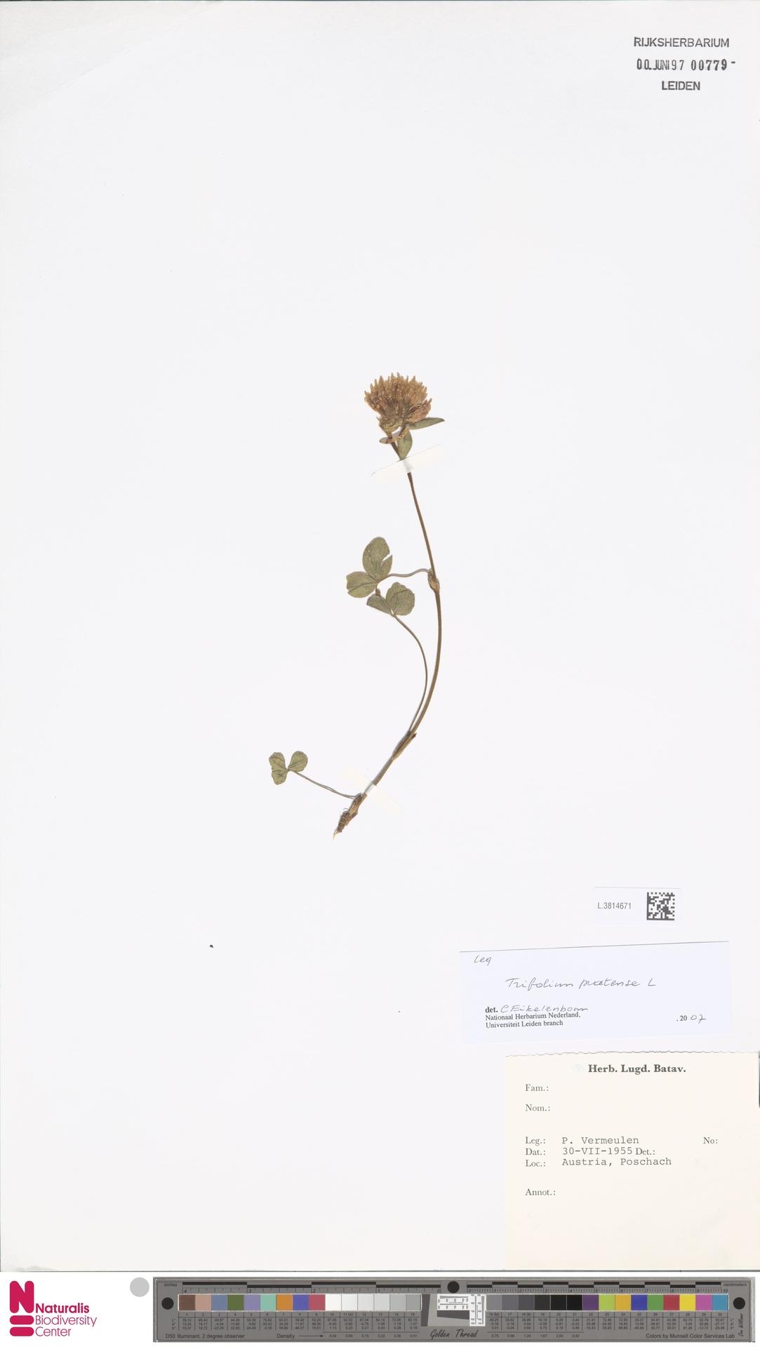 L.3814671 | Trifolium pratense L.