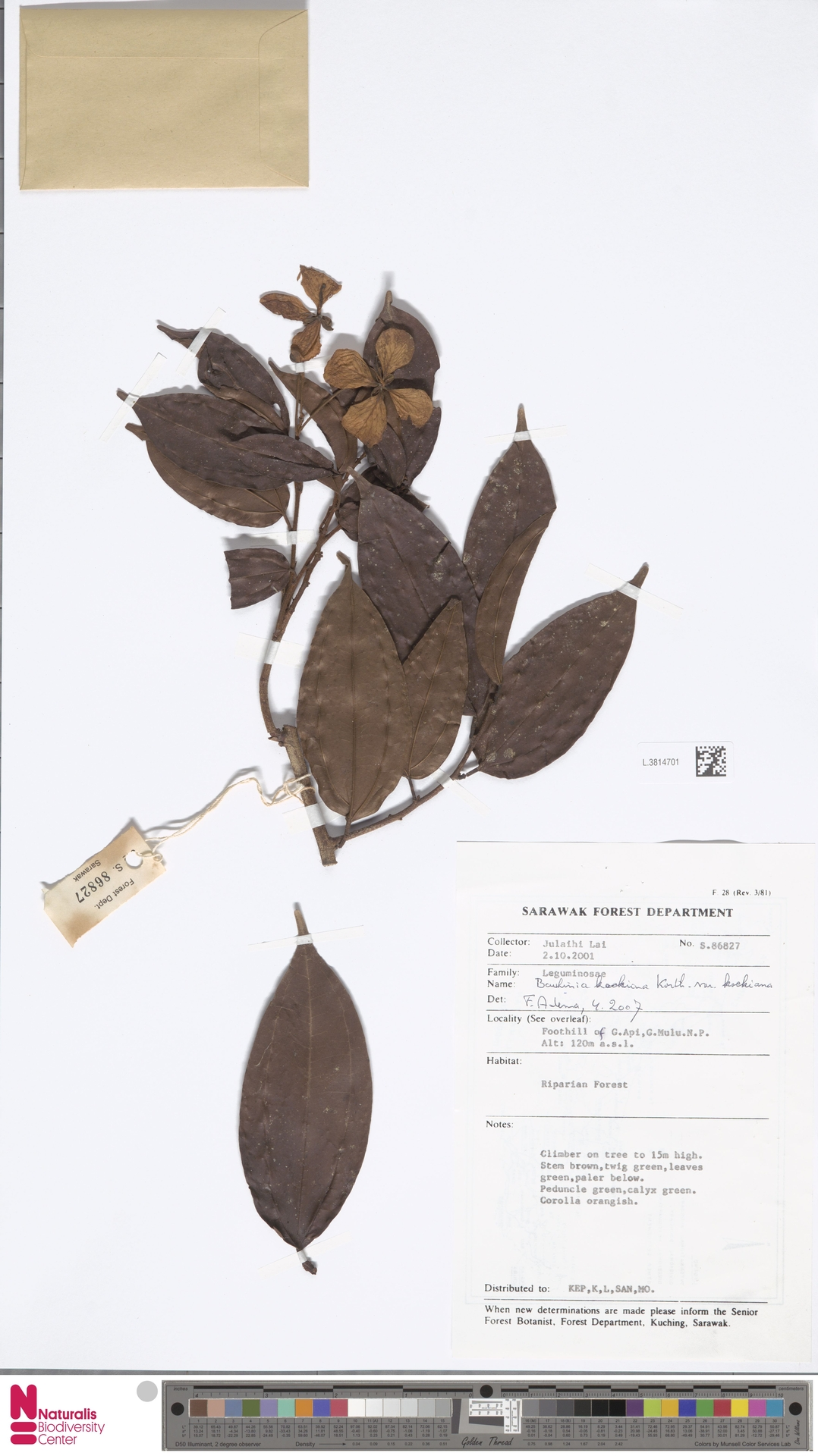 L.3814701 | Bauhinia kockiana var. kockiana