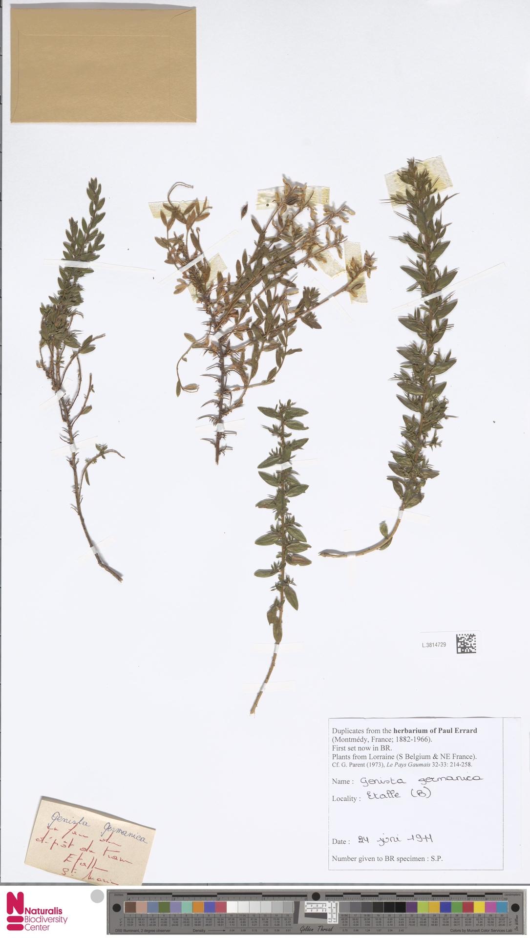 L.3814729 | Genista germanica L.