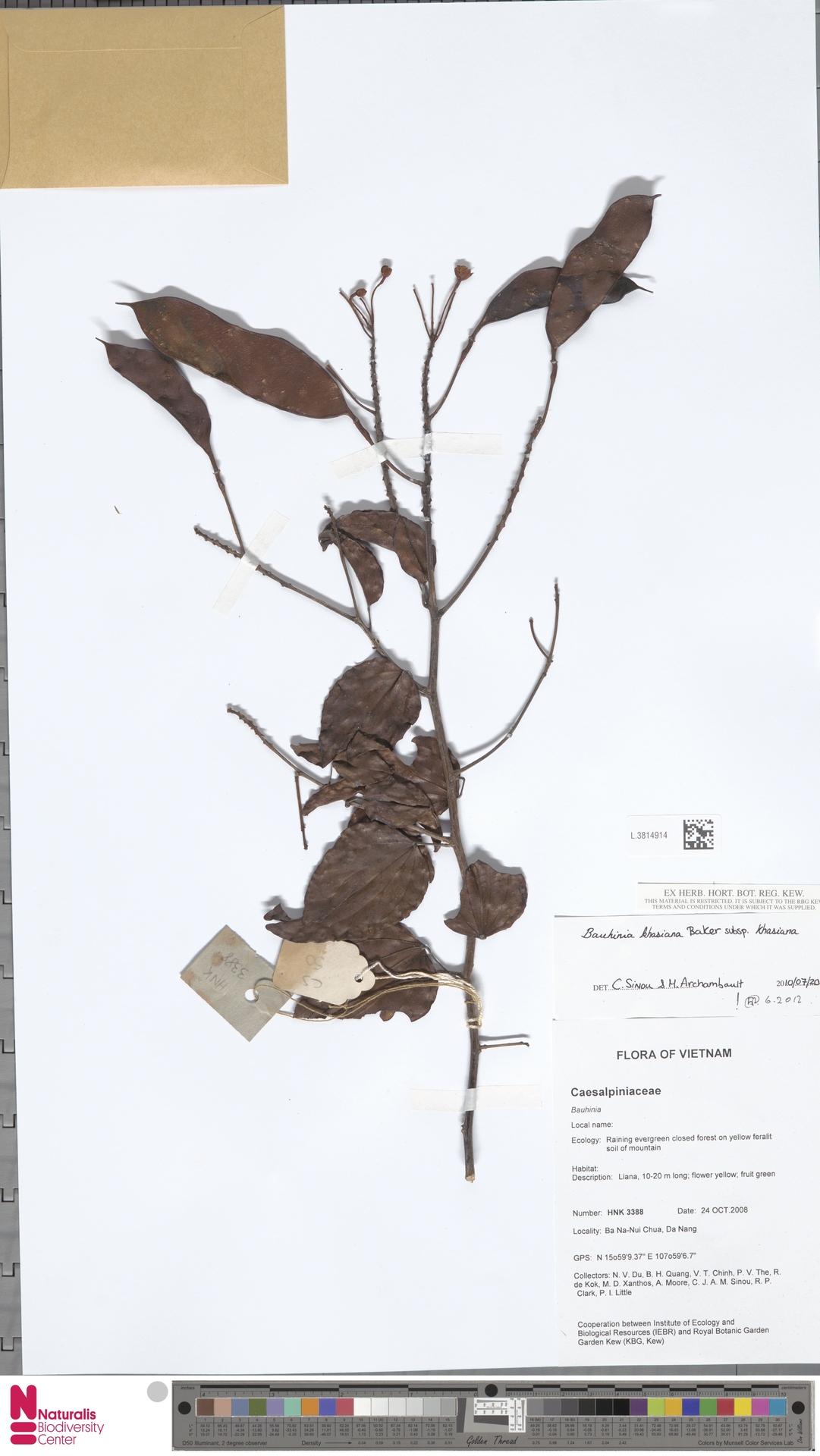 L.3814914 | Bauhinia khasiana subsp. khasiana