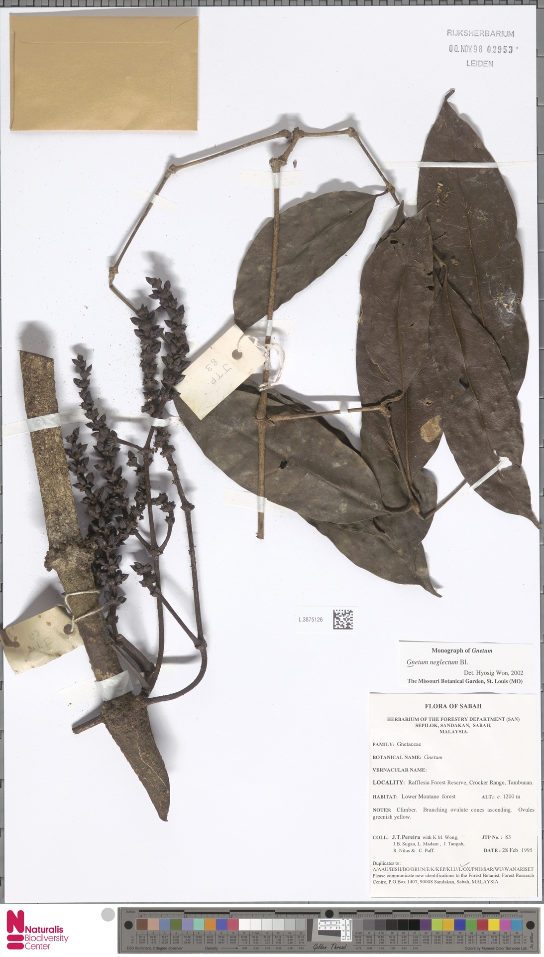 L.3875126 | Gnetum neglectum Blume