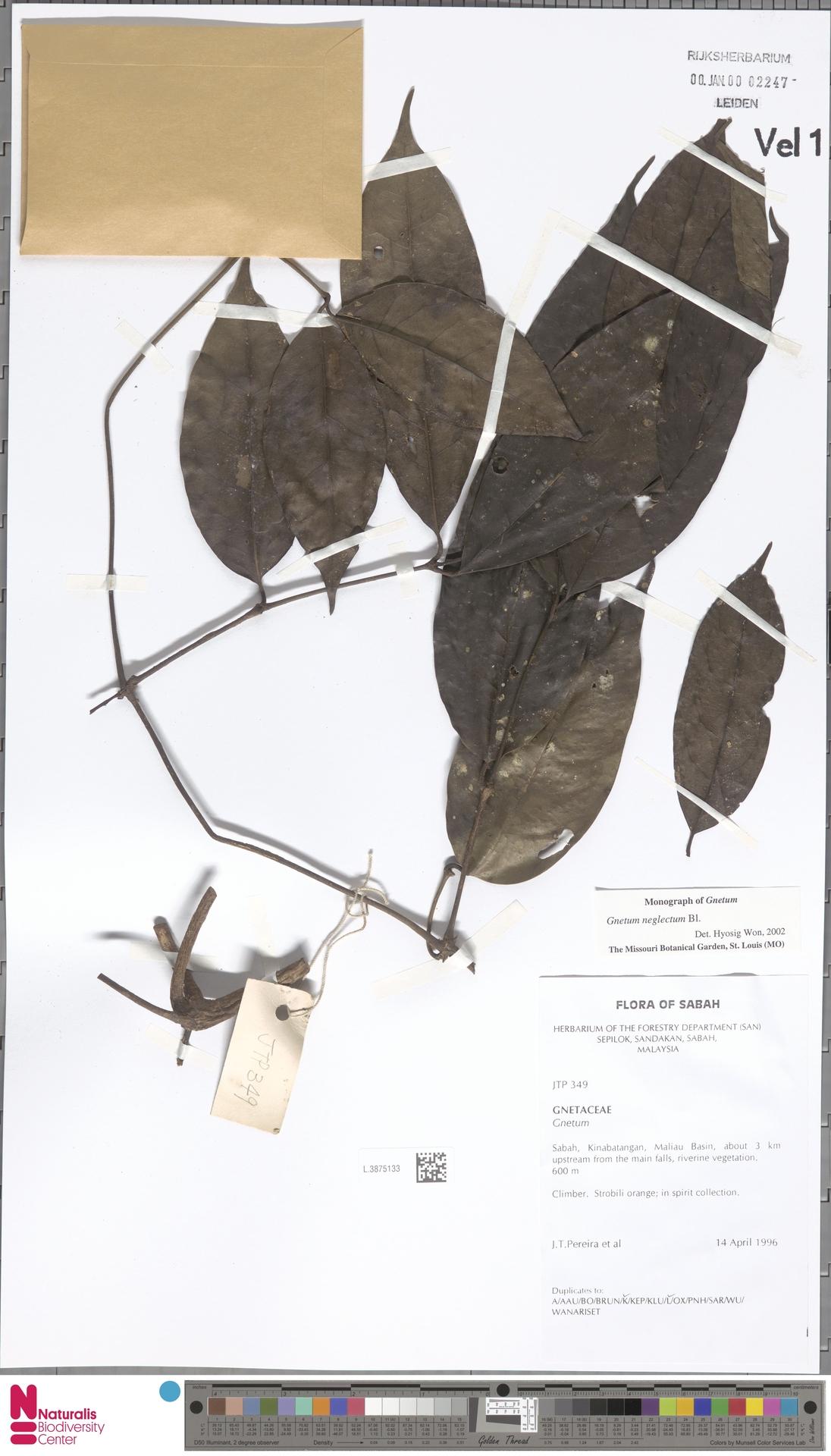 L.3875133 | Gnetum neglectum Blume