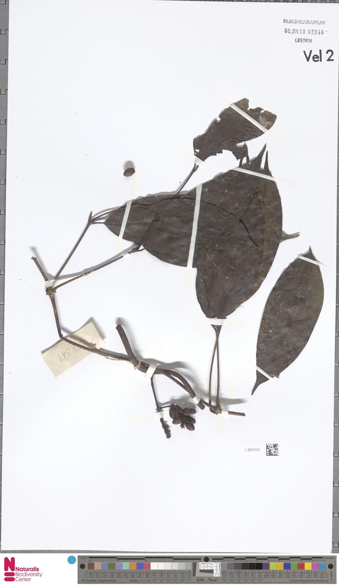 L.3875134 | Gnetum neglectum Blume