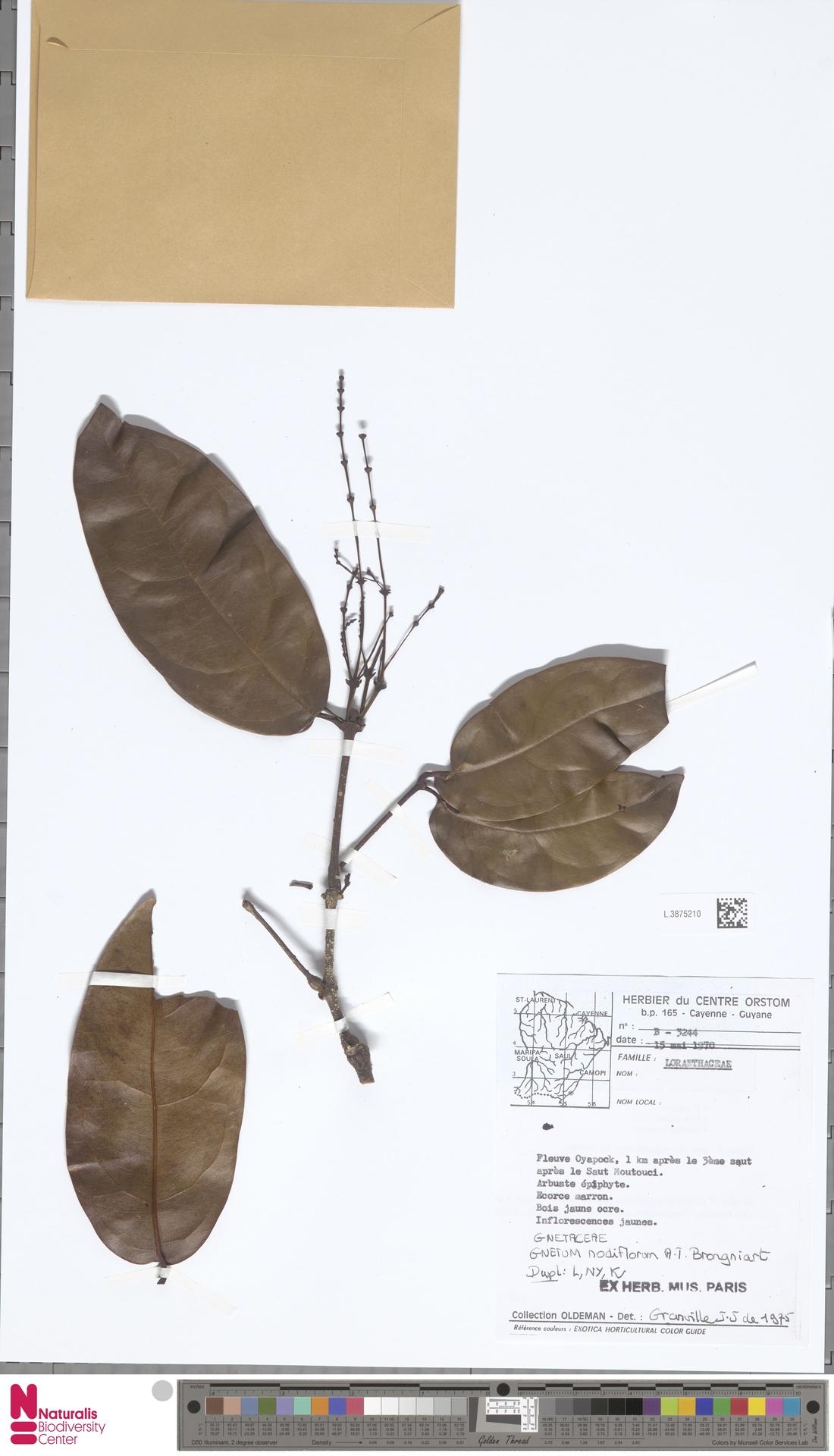 L.3875210 | Gnetum nodiflorum Brongn.