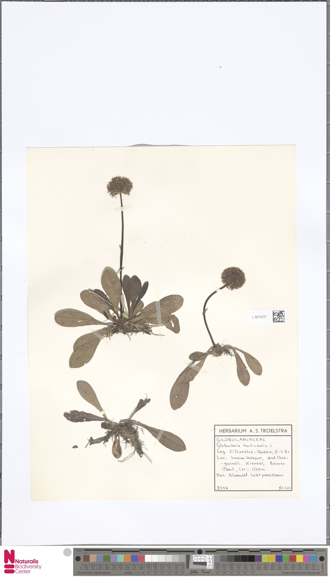 L.3875237 | Globularia nudicaulis L.