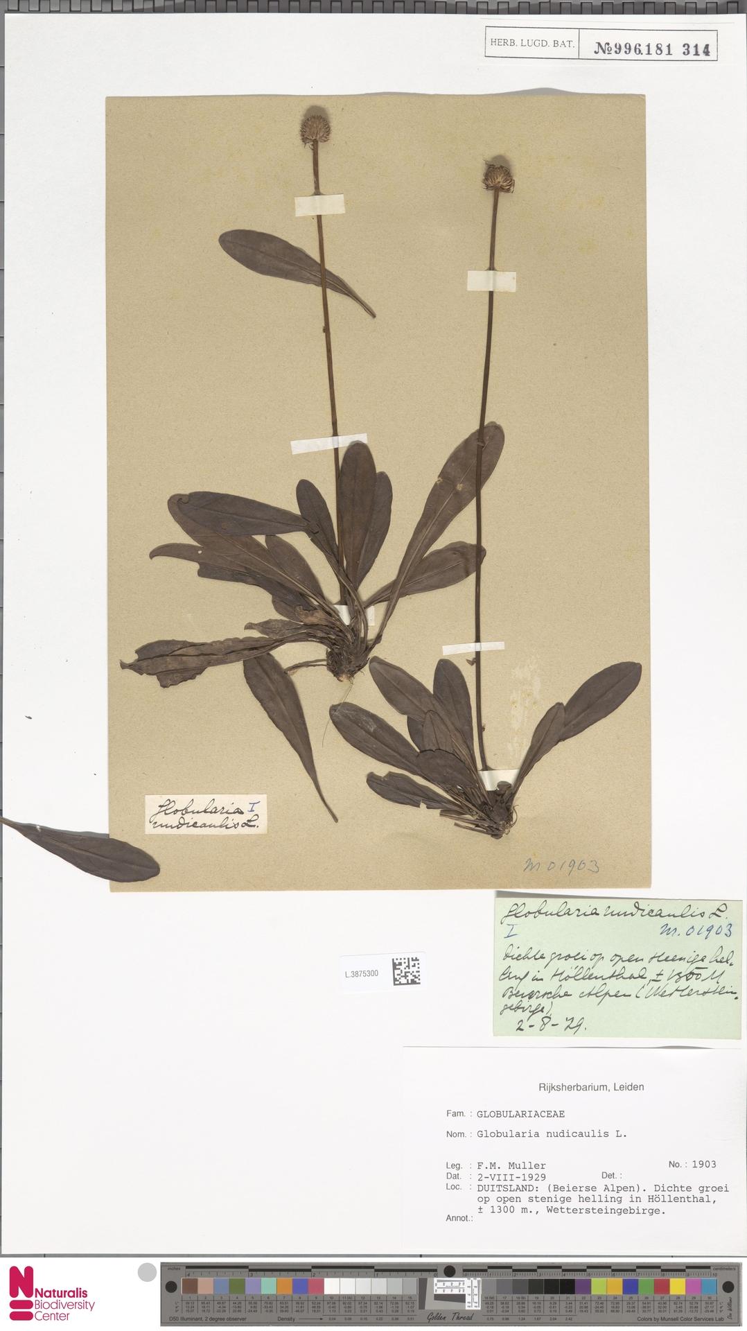 L.3875300 | Globularia nudicaulis L.