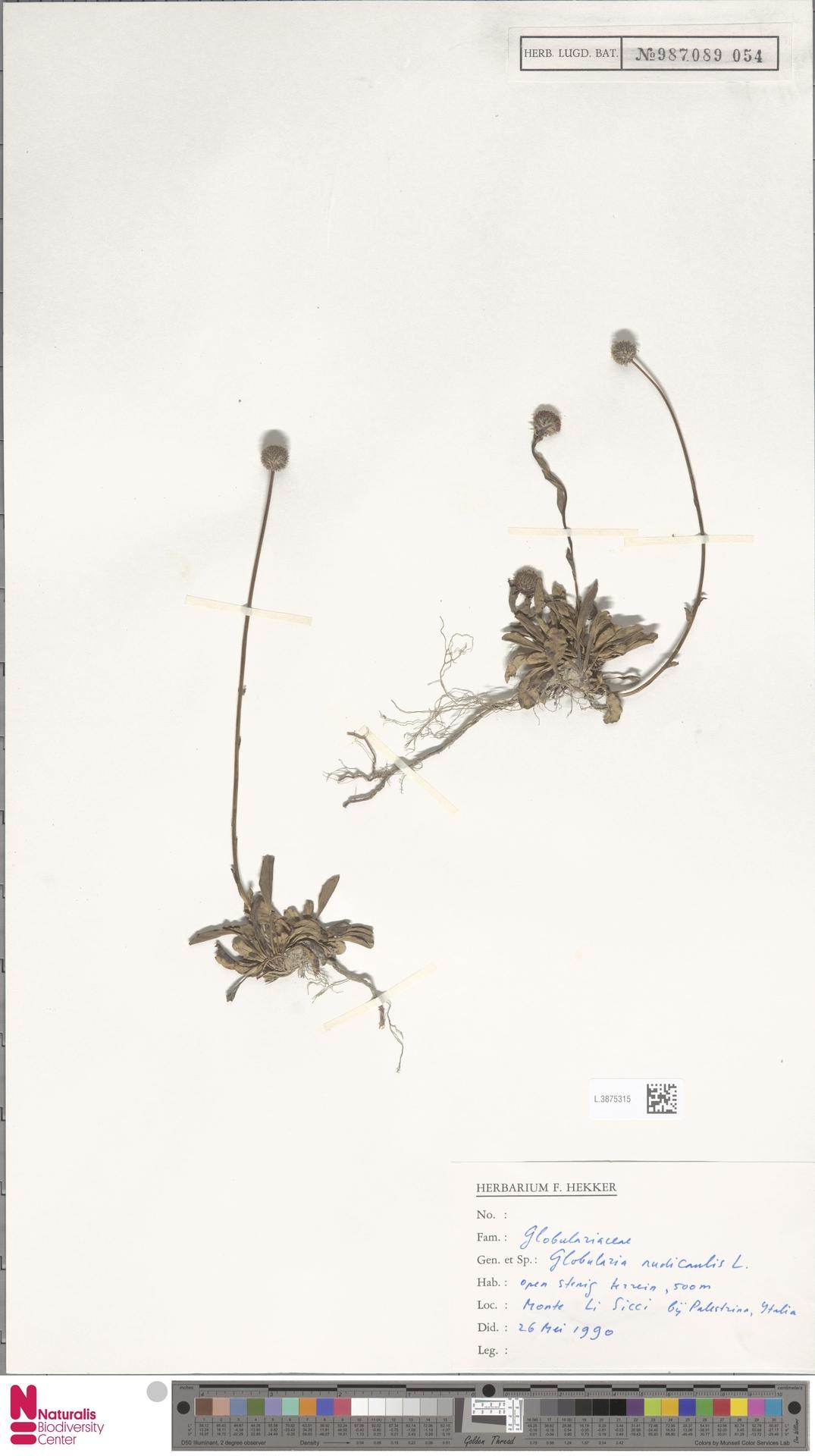 L.3875315 | Globularia nudicaulis L.