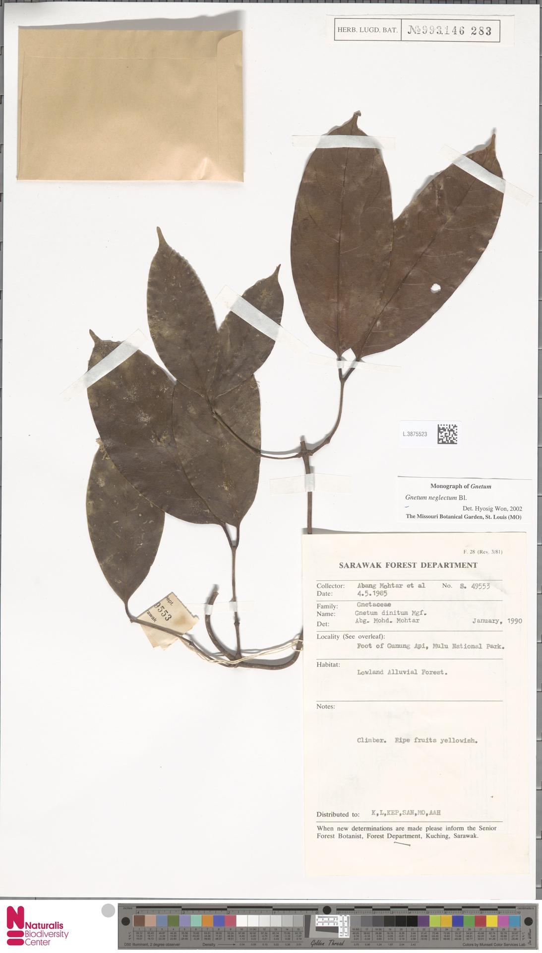 L.3875523 | Gnetum neglectum Blume