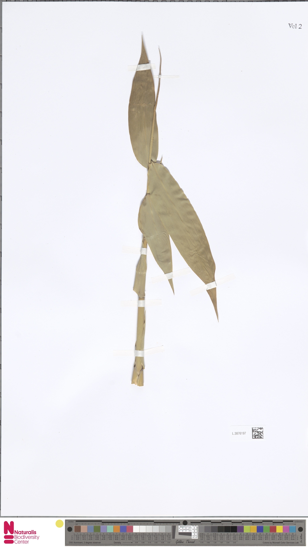 L.3876197 | Gigantochloa nigrociliata Kurz