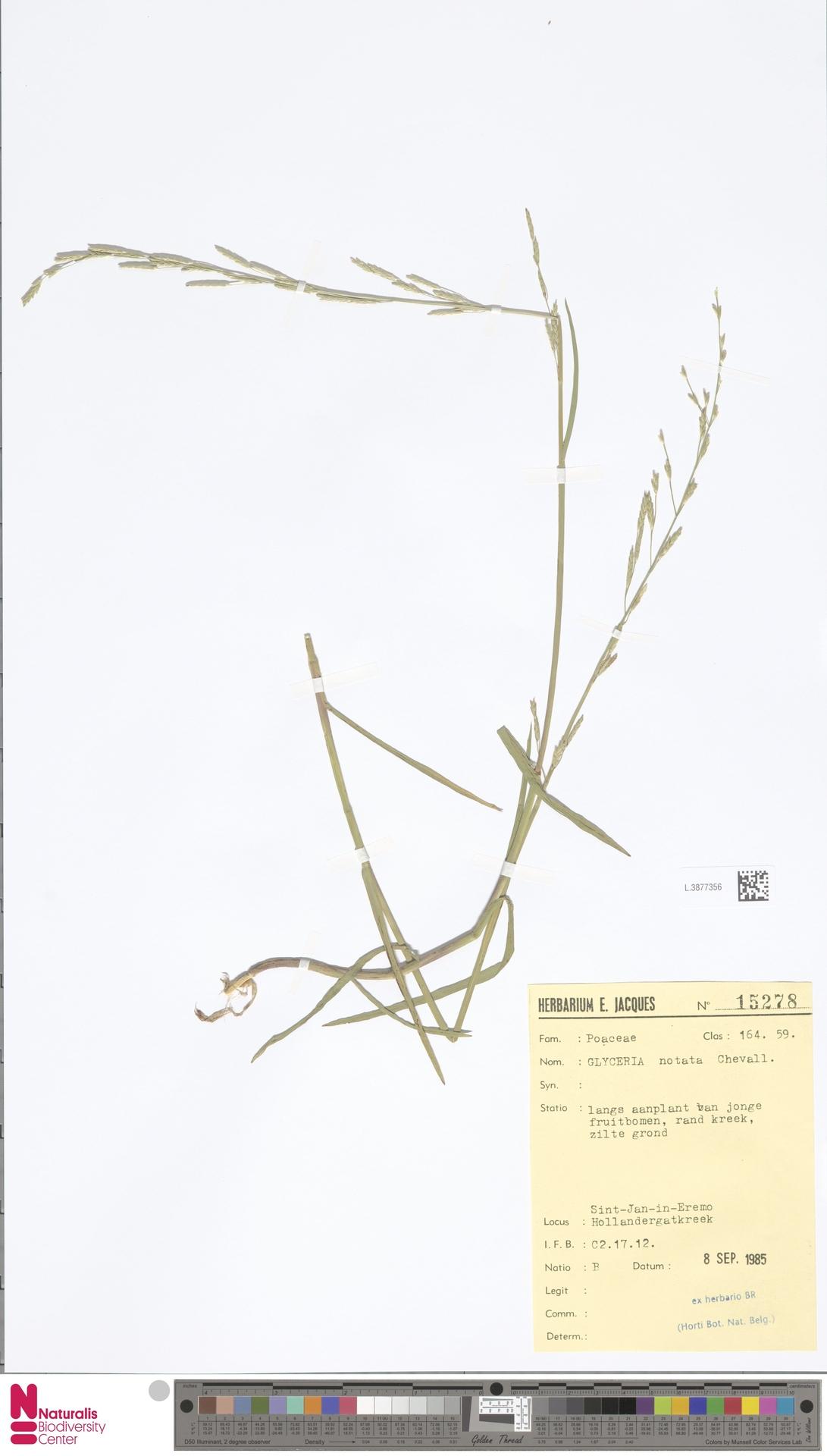 L.3877356   Glyceria notata Chevall.