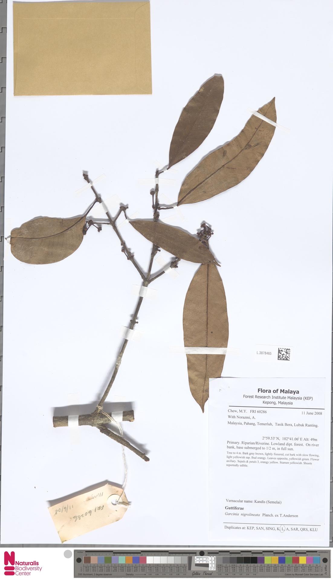 L.3878465 | Garcinia nigrolineata Planch. ex T.Anderson