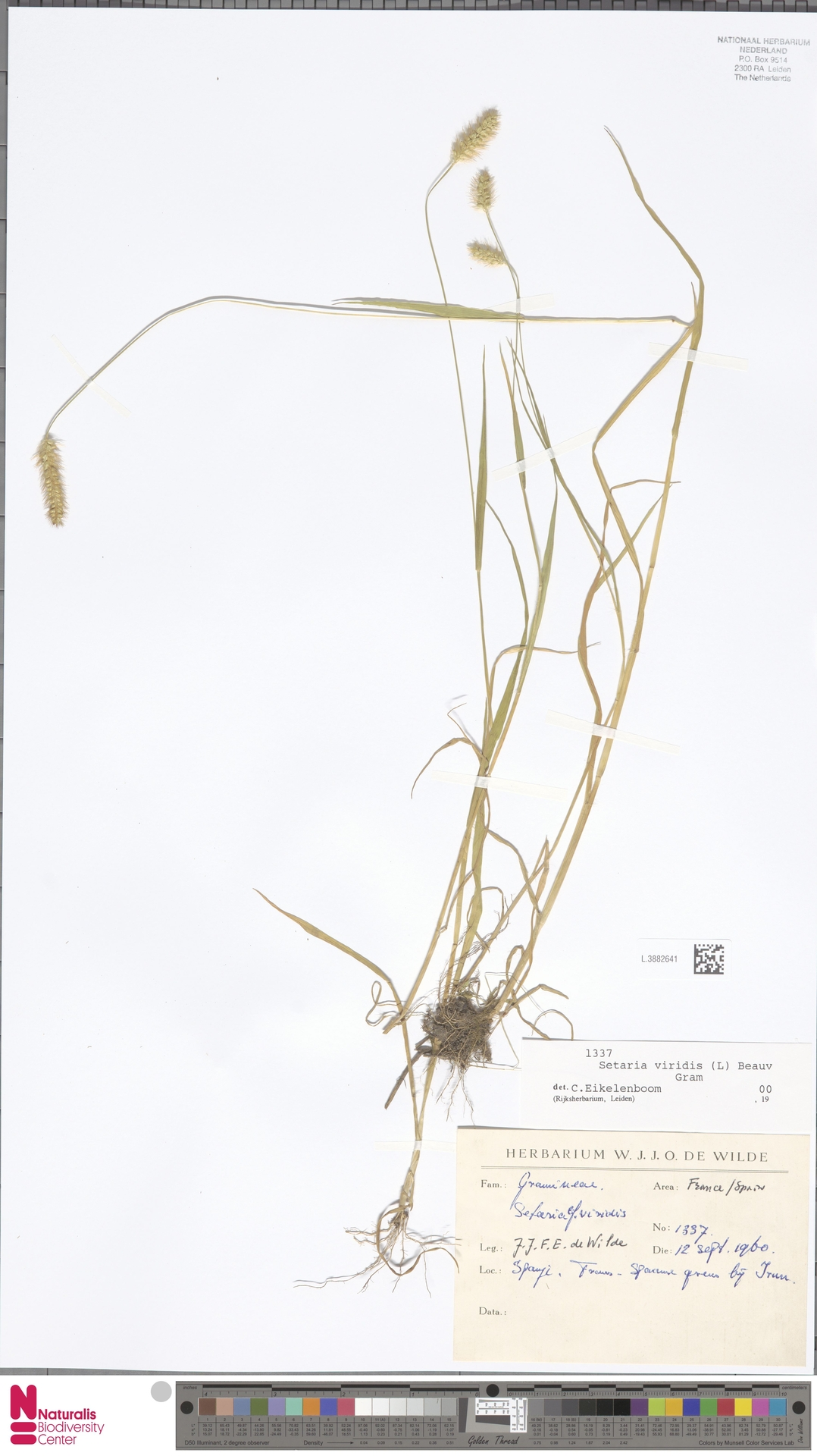 L.3882641   Setaria viridis (L.) P.Beauv.