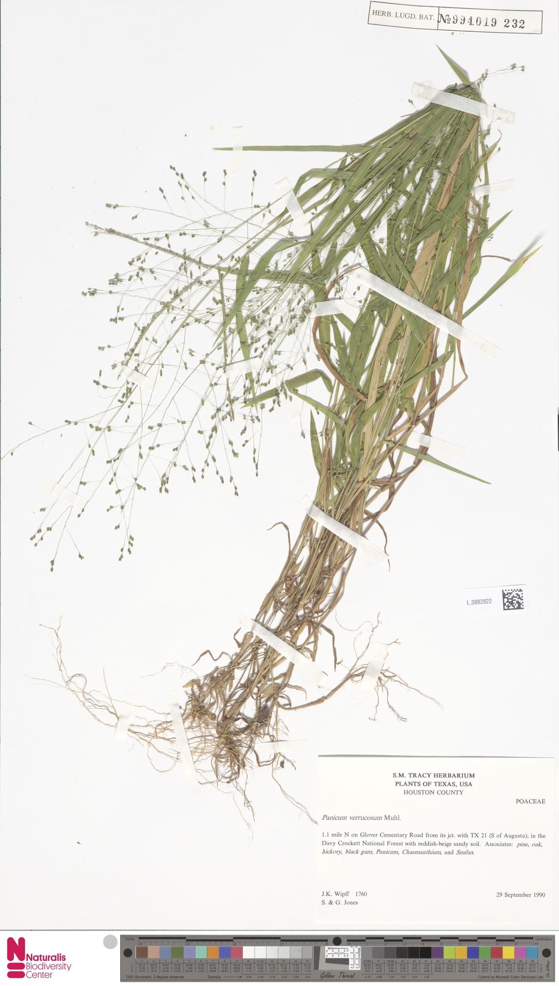 L.3882822 | Panicum verrucosum Muhl.
