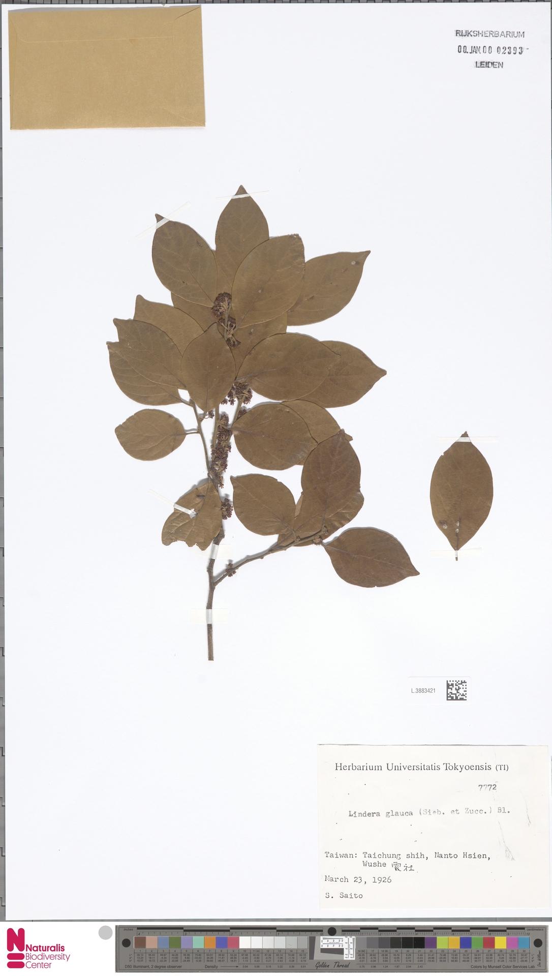 L.3883421   Lindera glauca Blume