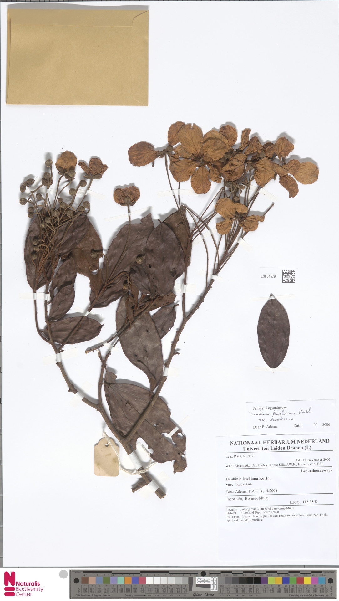 L.3884579 | Bauhinia kockiana var. kockiana