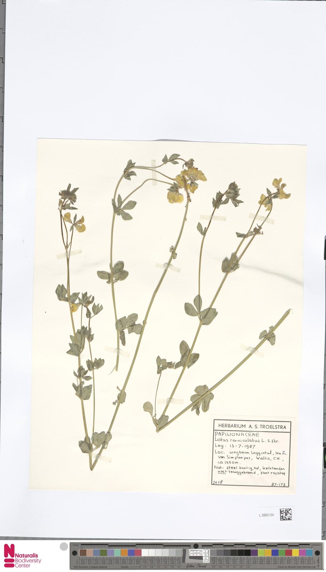 L.3885134   Lotus corniculatus L.