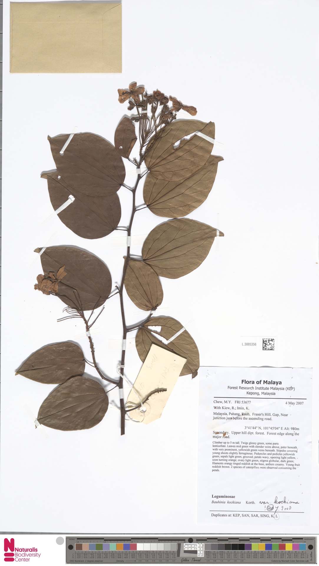 L.3885356 | Bauhinia kockiana var. kockiana