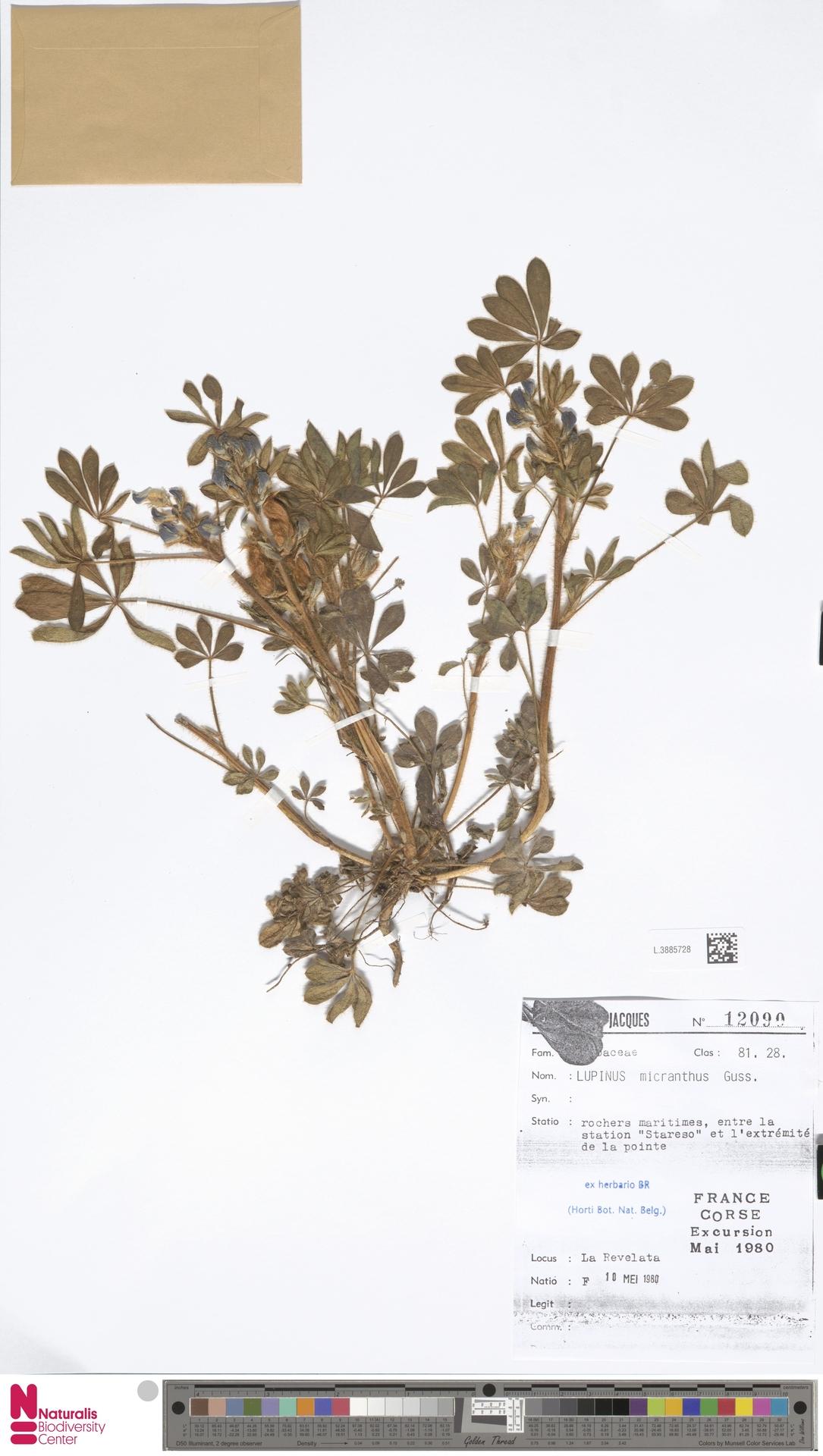 L.3885728 | Lupinus micranthus Guss.