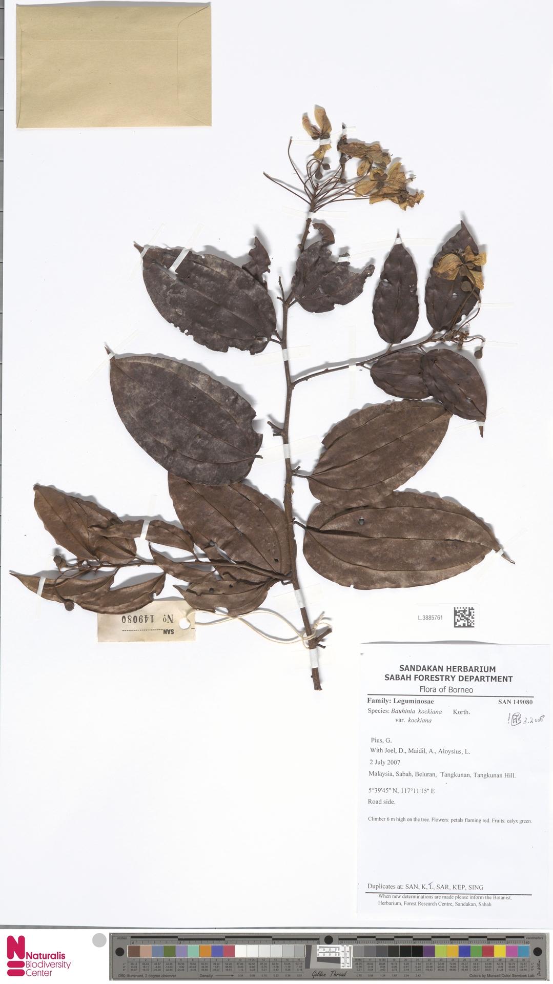 L.3885761 | Bauhinia kockiana var. kockiana