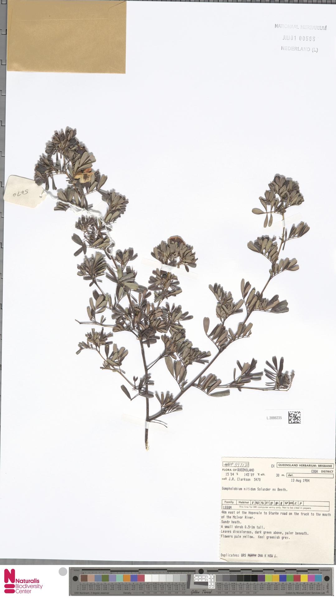 L.3886235 | Gompholobium nitidum Sol. ex Benth.