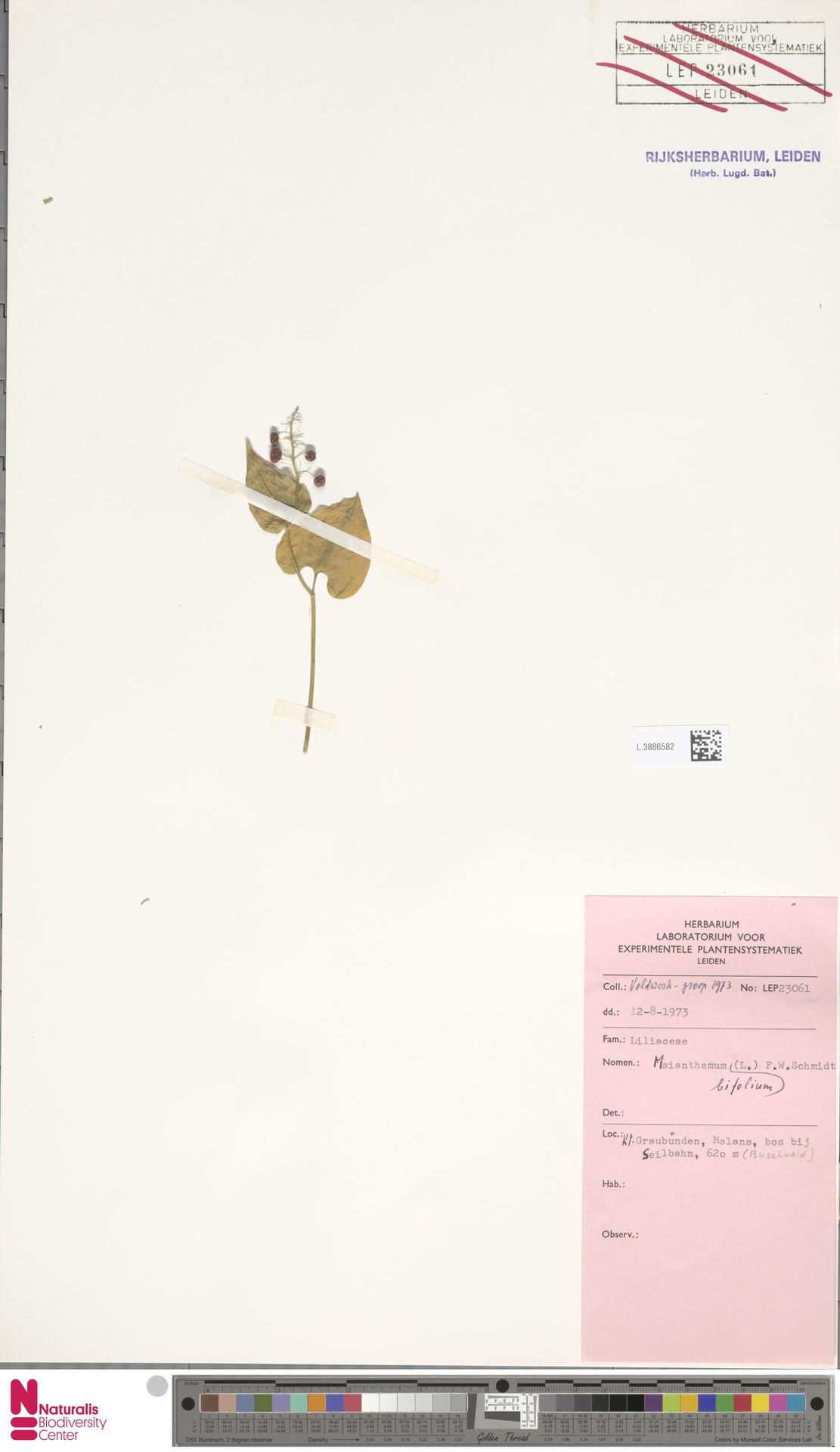L.3886582   Maianthemum bifolium (L.) F.W.Schmidt