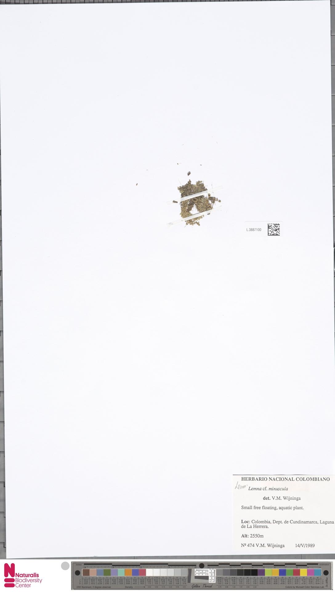 L.3887100   Lemna minuscula Herter