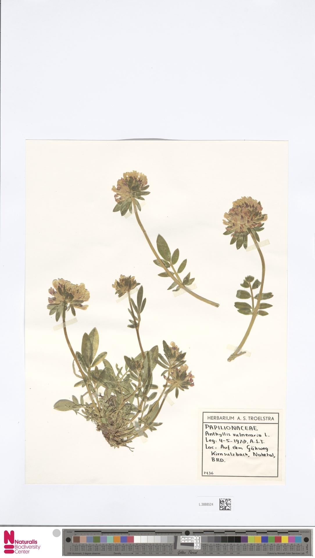 L.3888524 | Anthyllis vulneraria L.