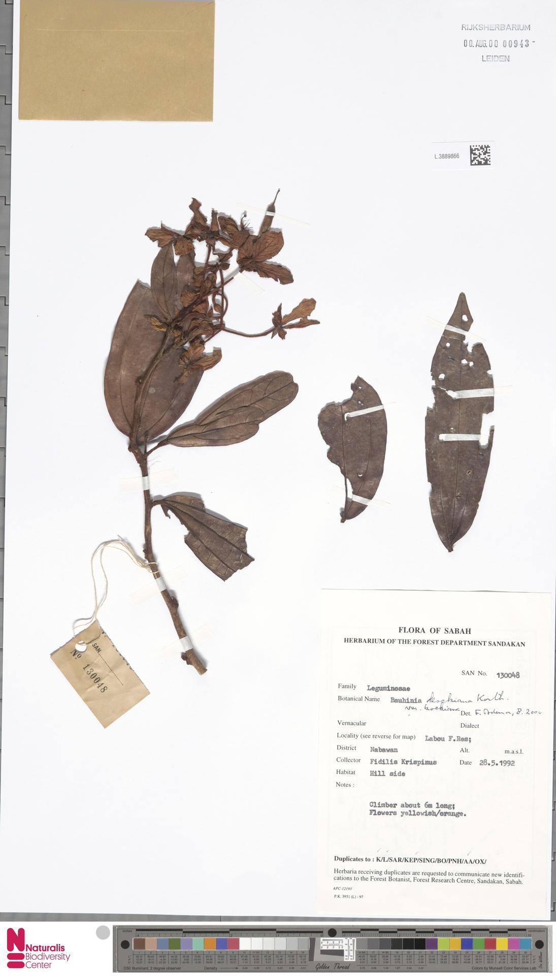L.3889866 | Bauhinia kockiana var. kockiana