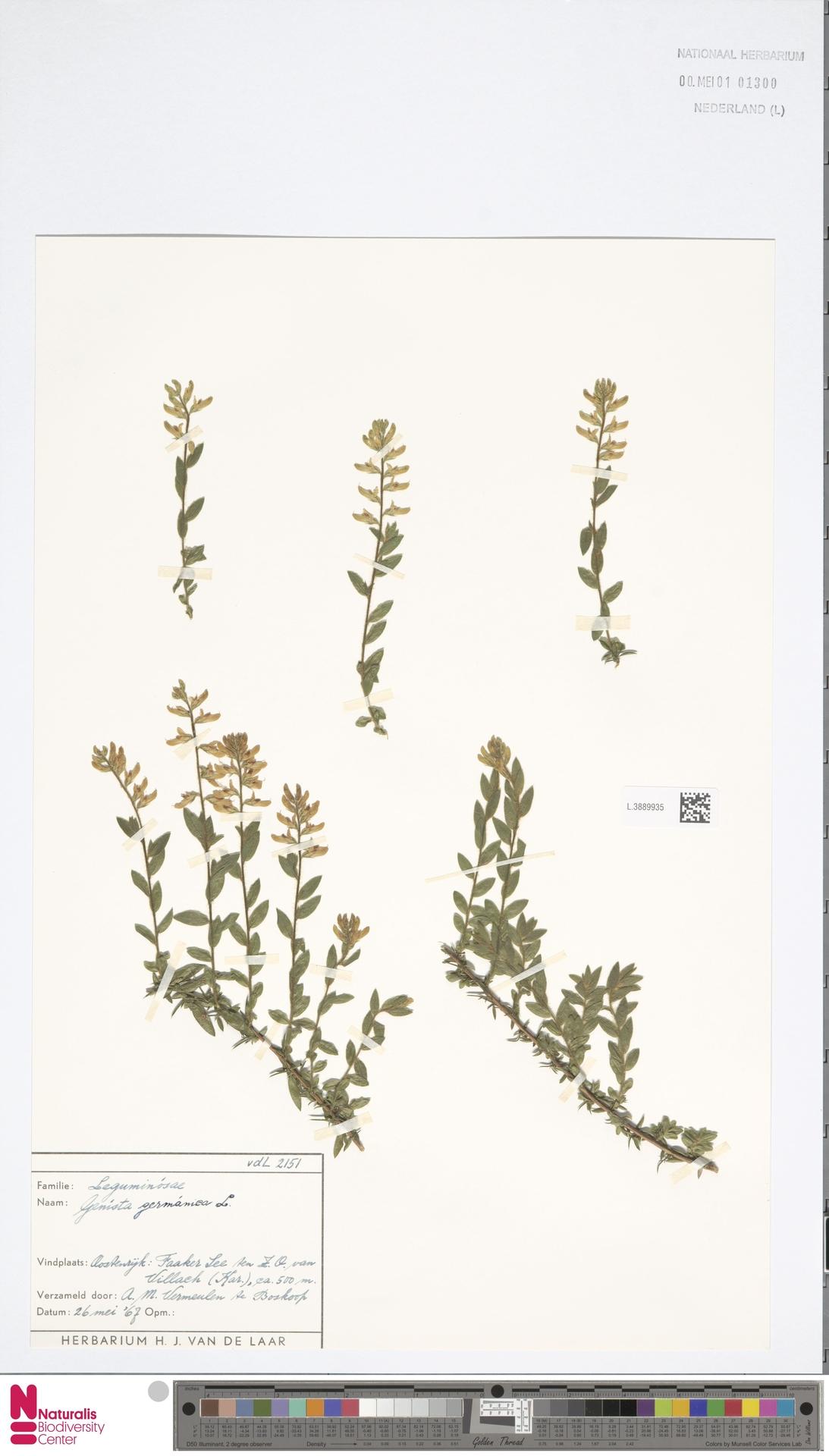 L.3889935 | Genista germanica L.