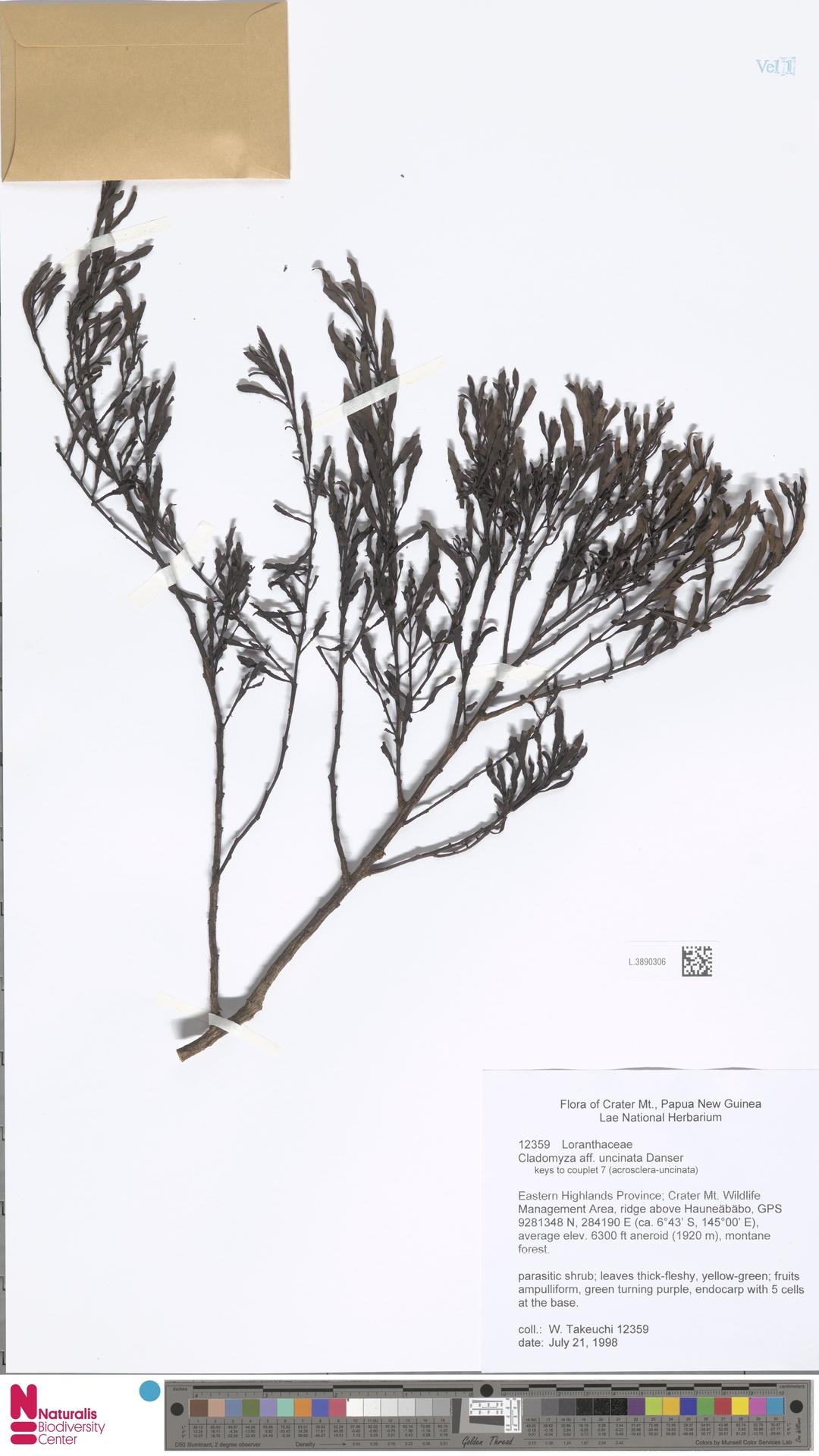 L.3890306 | Cladomyza uncinata Danser