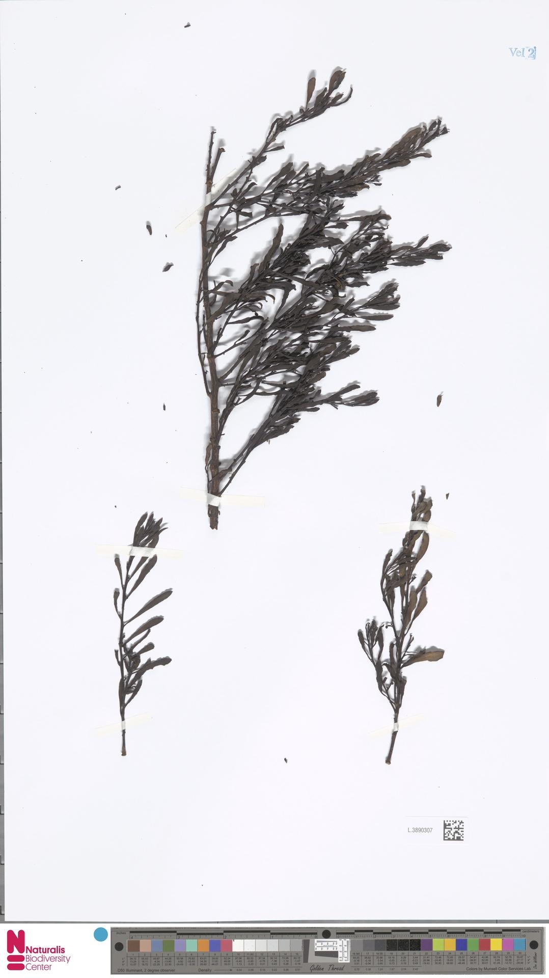 L.3890307 | Cladomyza uncinata Danser