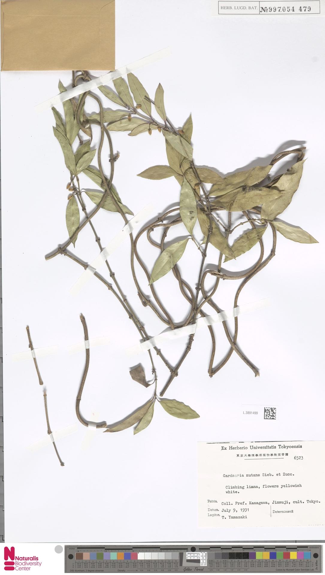 L.3891499 | Gardneria nutans Siebold & Zucc.