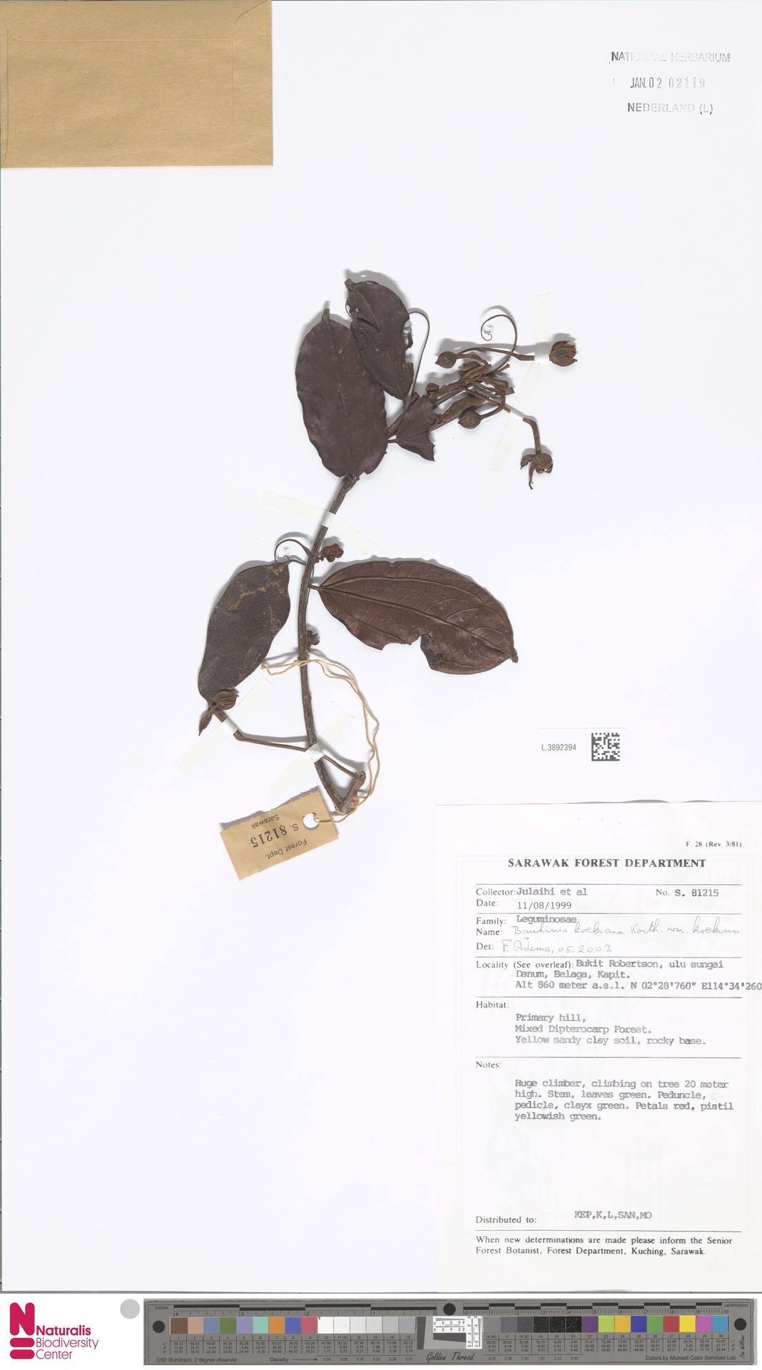 L.3892394 | Bauhinia kockiana var. kockiana