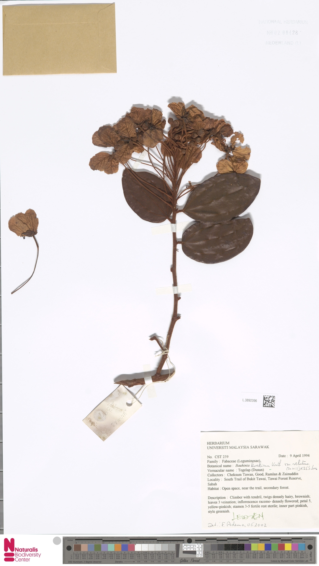 L.3892396   Bauhinia kockiana var. velutina (de Wit) K.Larsen & S.S.Larsen