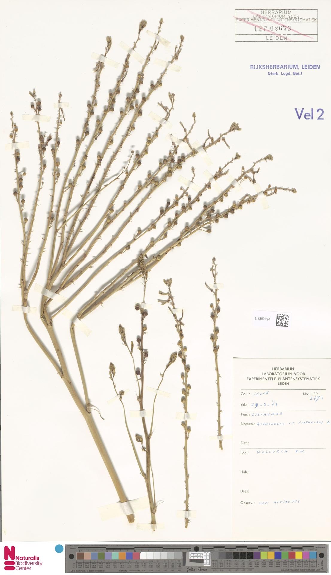 L.3892794 | Asphodelus fistulosus L.