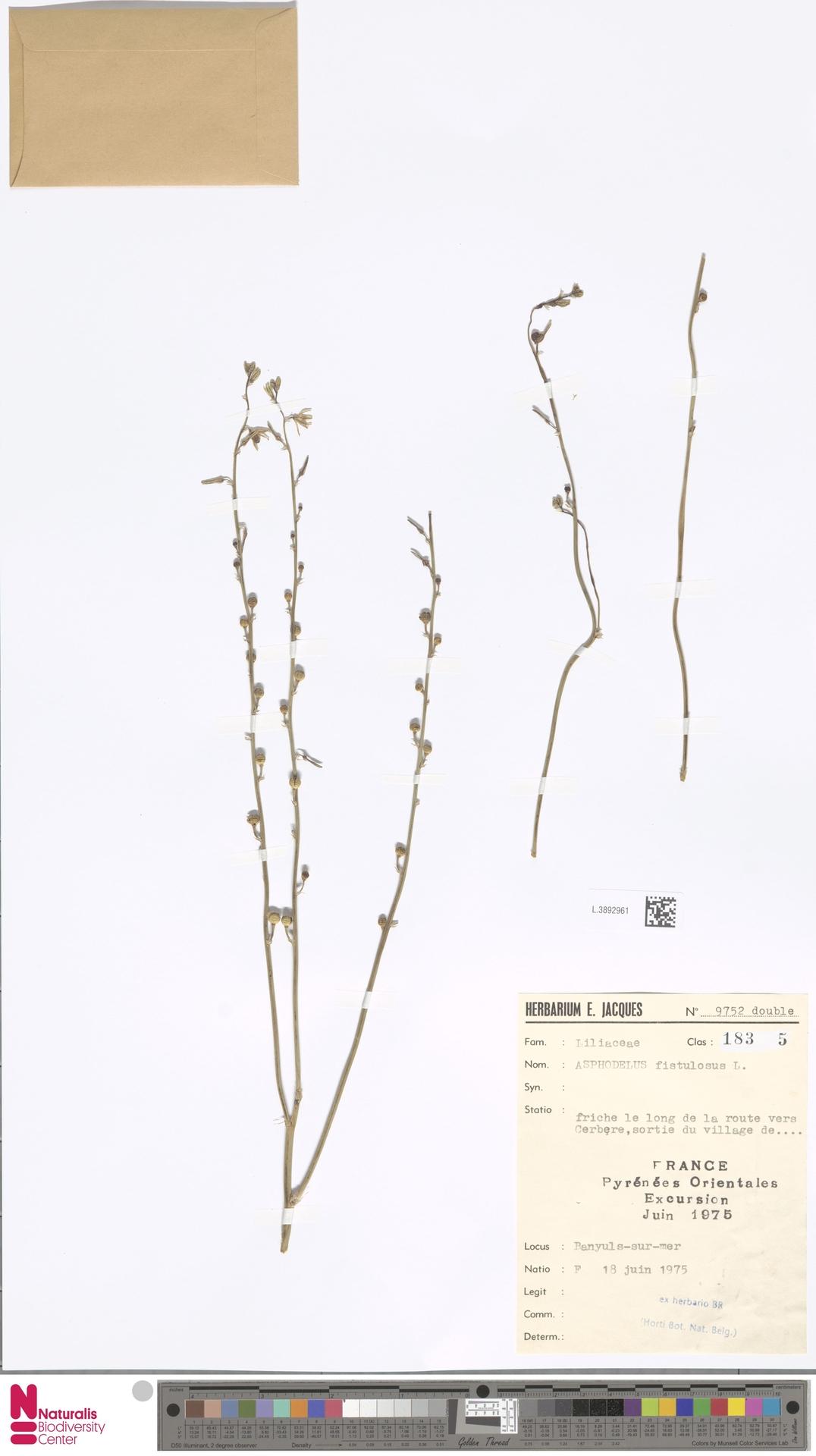 L.3892961   Asphodelus fistulosus L.
