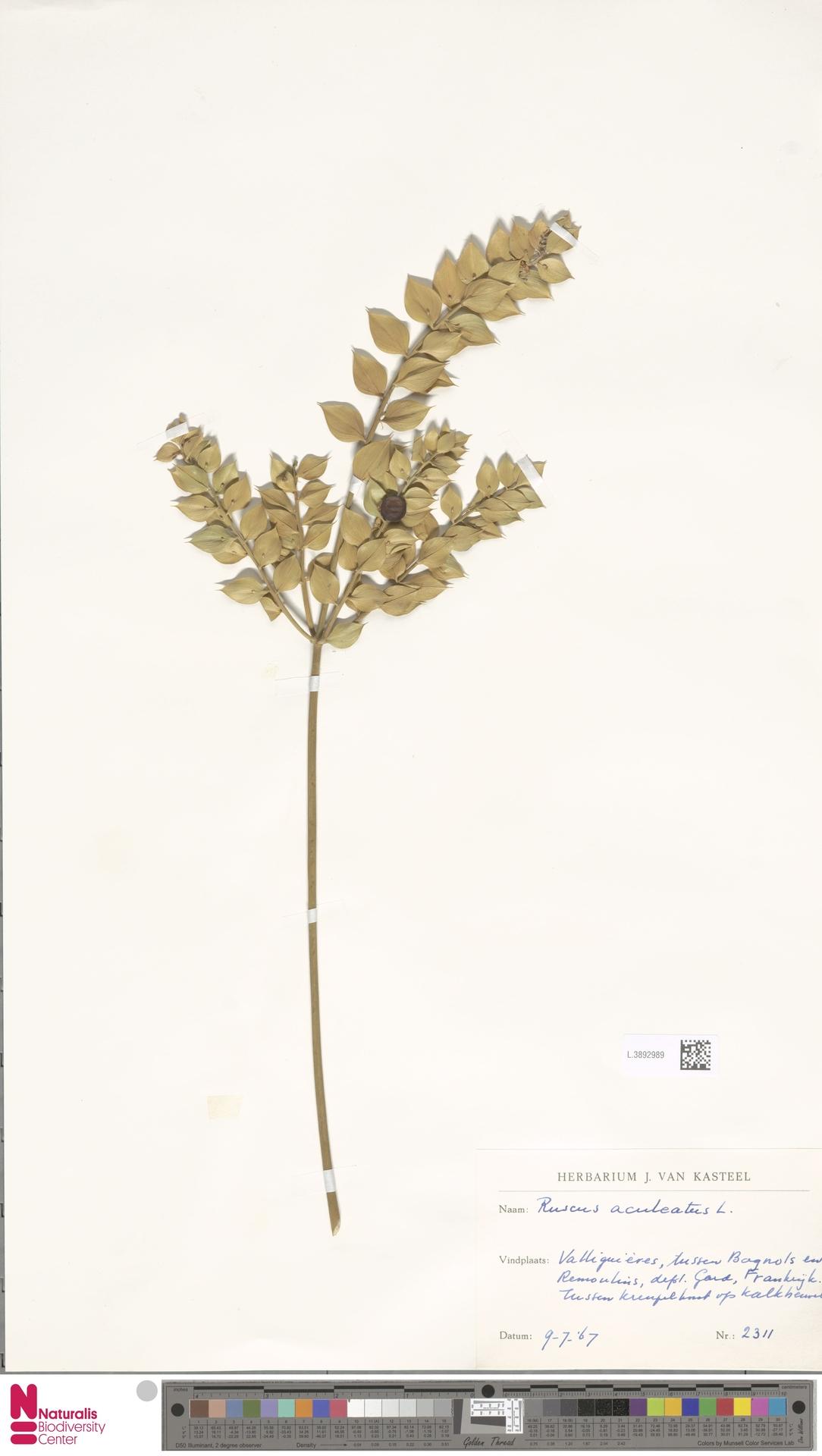 L.3892989 | Ruscus aculeatus L.